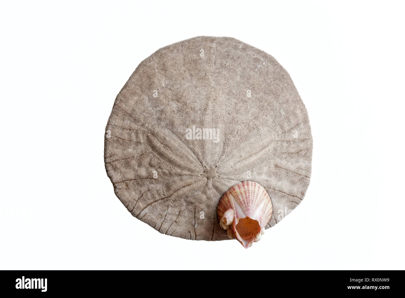 PHOTO: 43,503.04078 -- Closeup of a dead and cleaned Eccentric Sand dollar (Dendraster ecentricus, family Dendrasteridae, Sea Urchin class Echinoidea - Stock Image