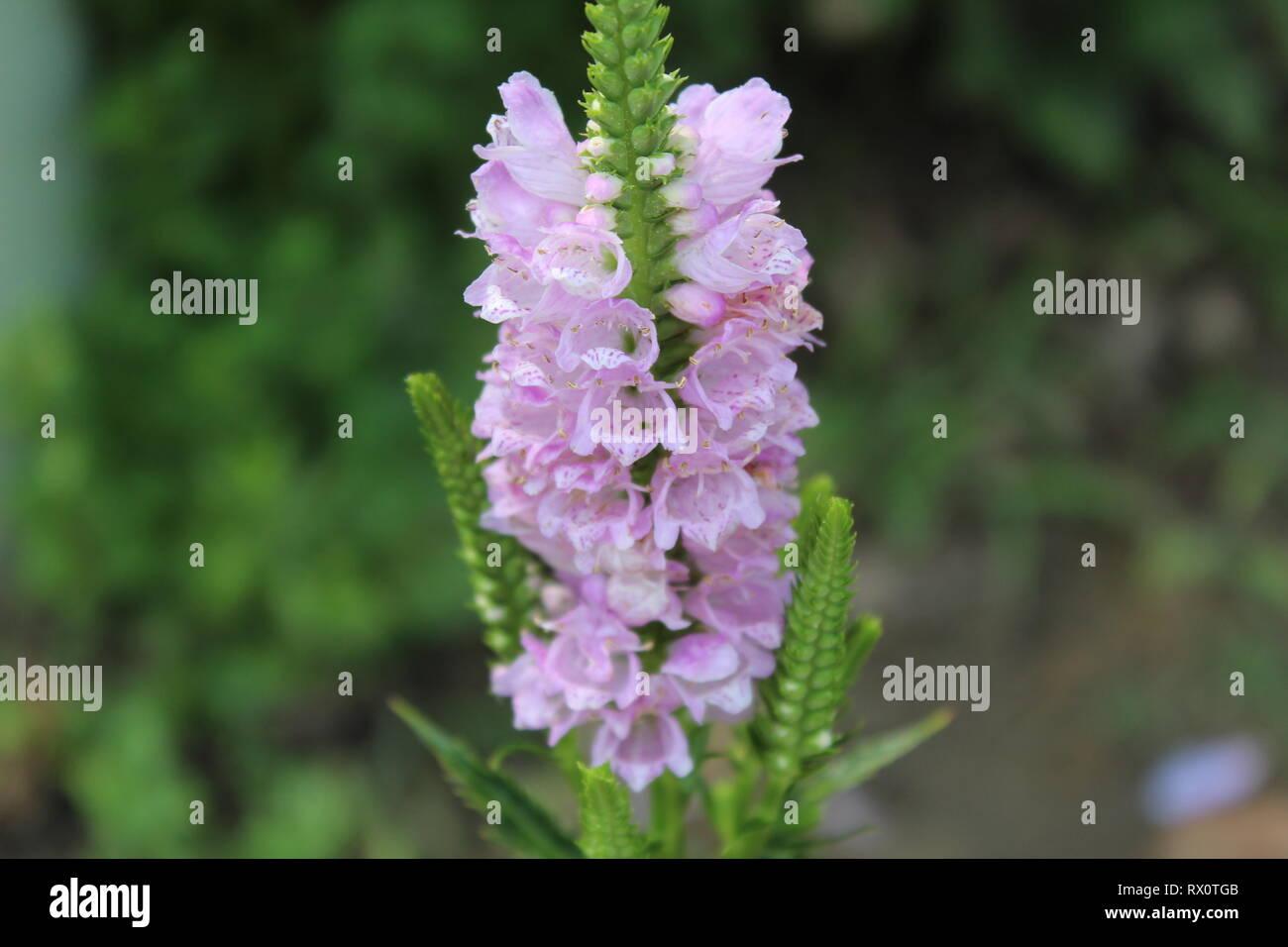 Physostegia AKA Obedient Plant - Stock Image
