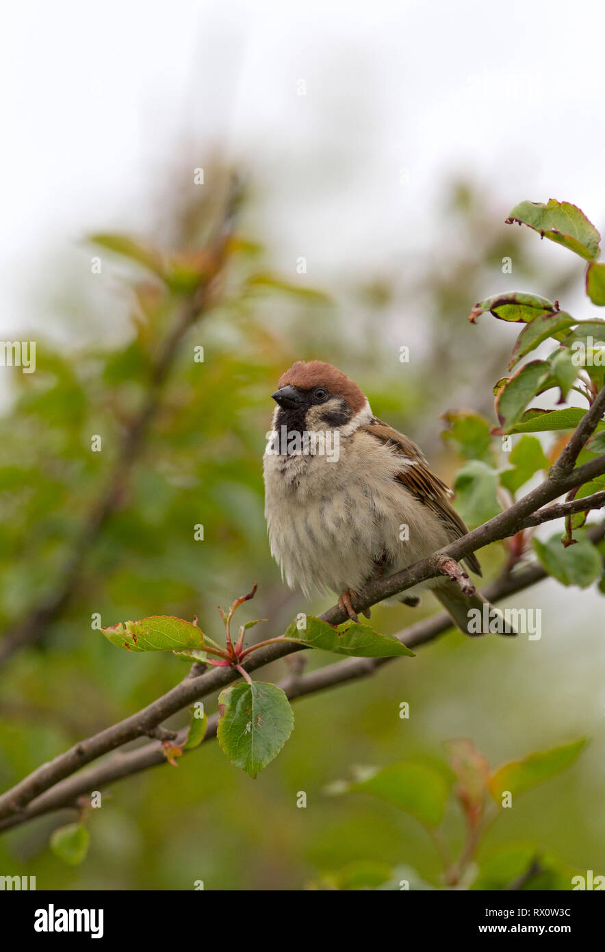 Tree Sparrow, Passer montanus, portrait of single adult perched in tree. Taken June,  Bempton, Yorkshire, UK. - Stock Image