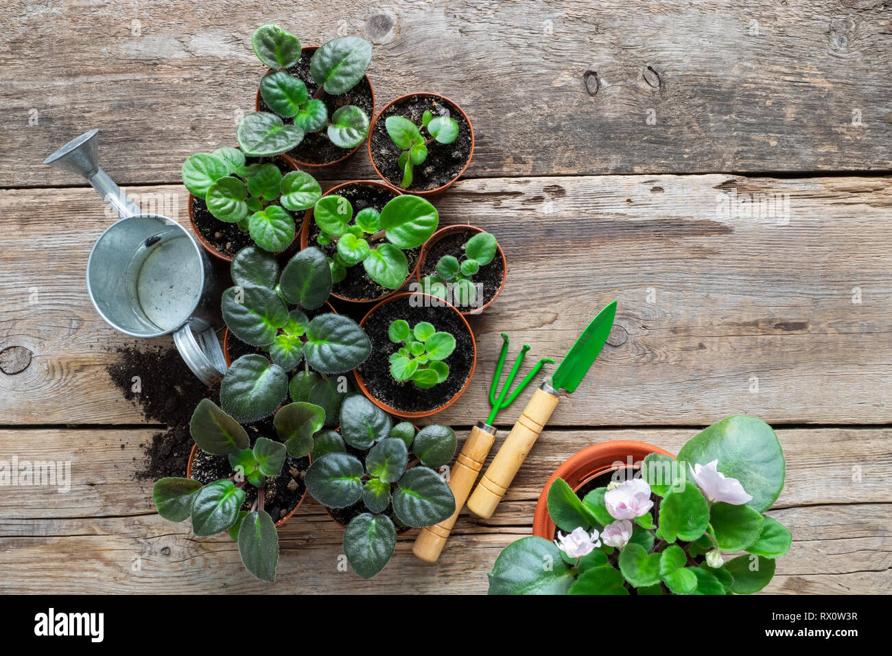 Alamy & Several flowerpot of home plants and saintpaulia flowers ...