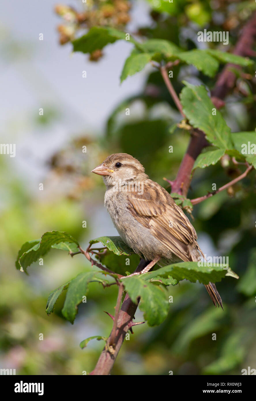 House Sparrow, Passer domesticus,  Single adult female perched on bramble branch. Worcestershire, UK. - Stock Image