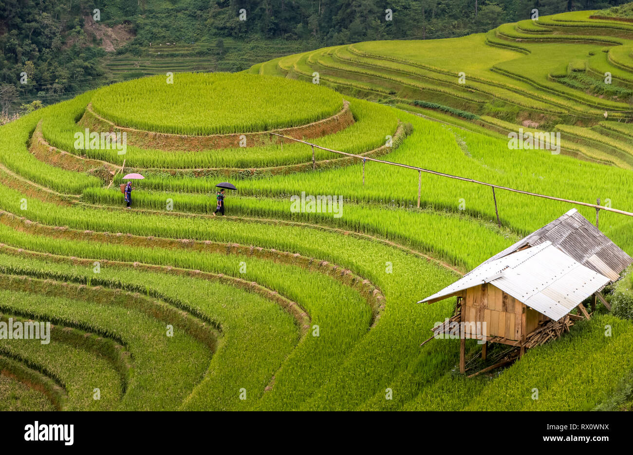 on the rice terraces - Stock Image