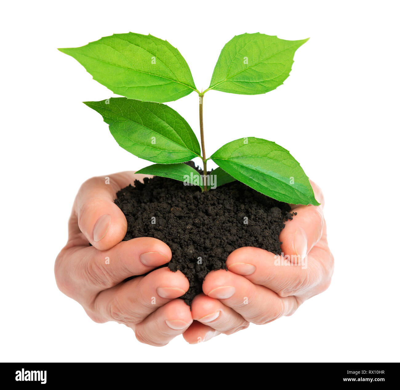 Hands holding green plant isolated - Stock Image