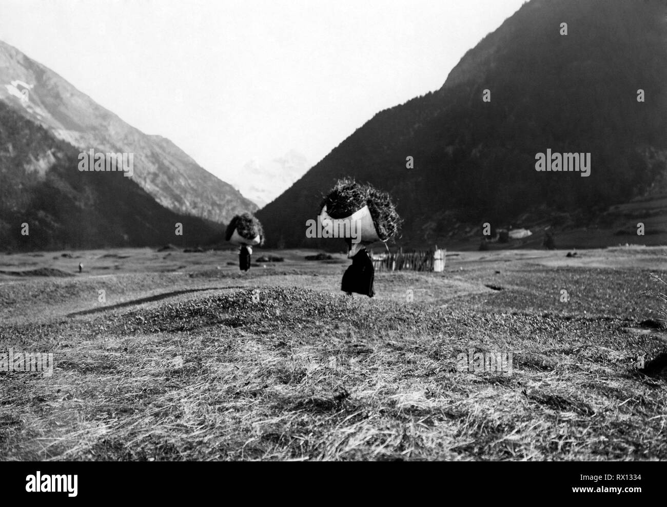 making hay, cogne, valle d'aosta, italy, 1920-30 - Stock Image