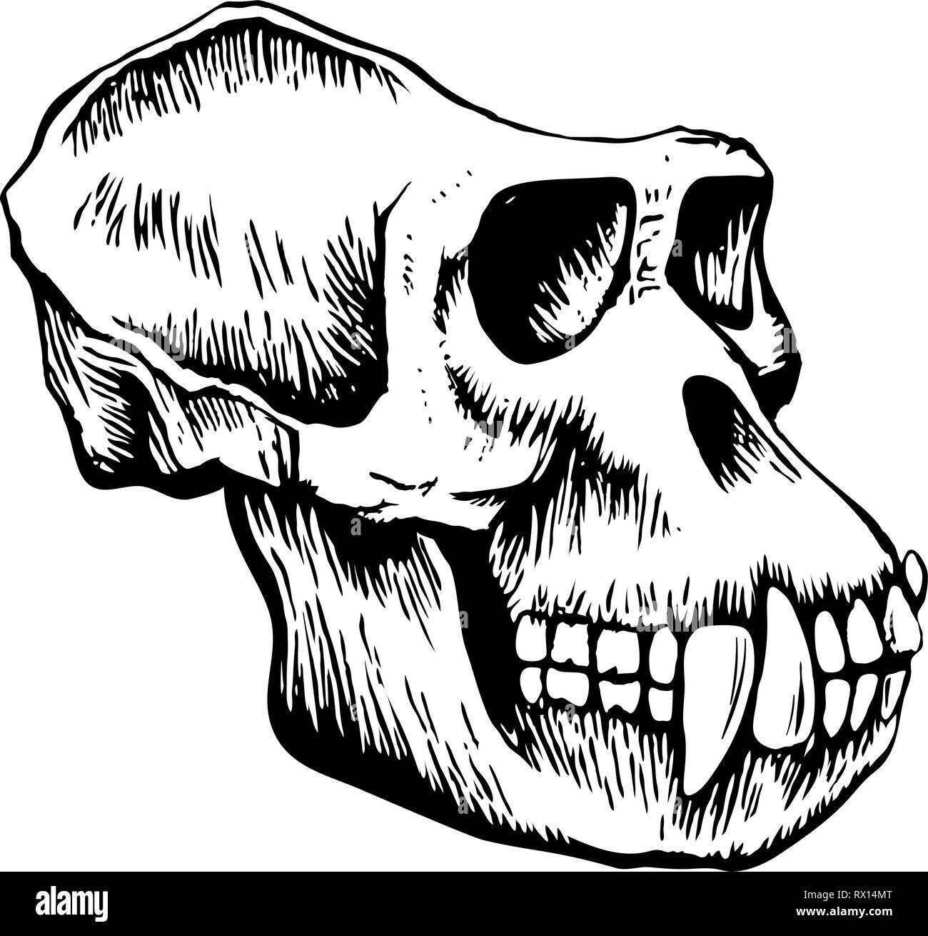 Monkey skull sketch - Stock Image