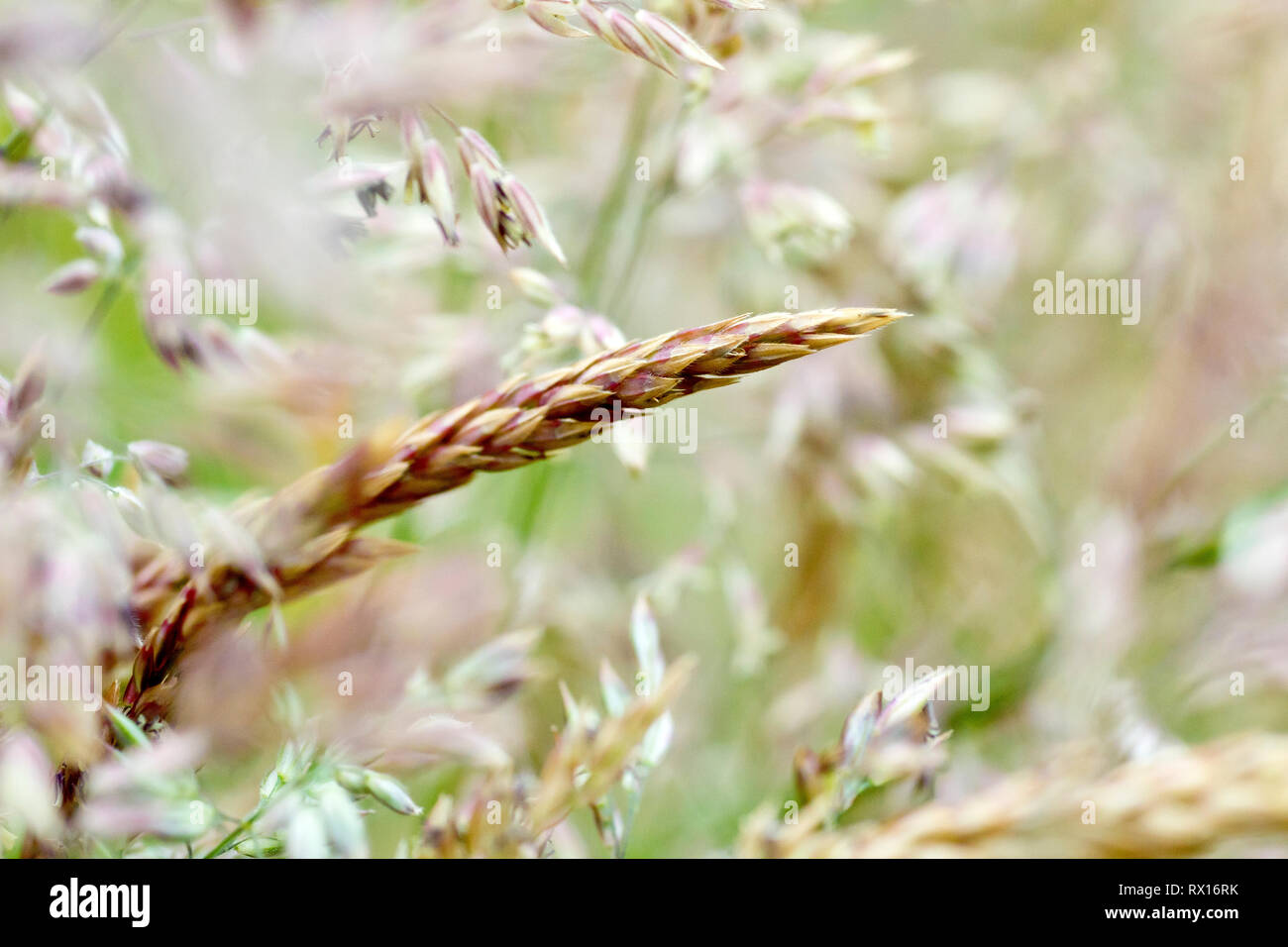 Grass, predominantly Yorkshire Fog (holcus lanatus), shot before flowering with low depth of field. Stock Photo