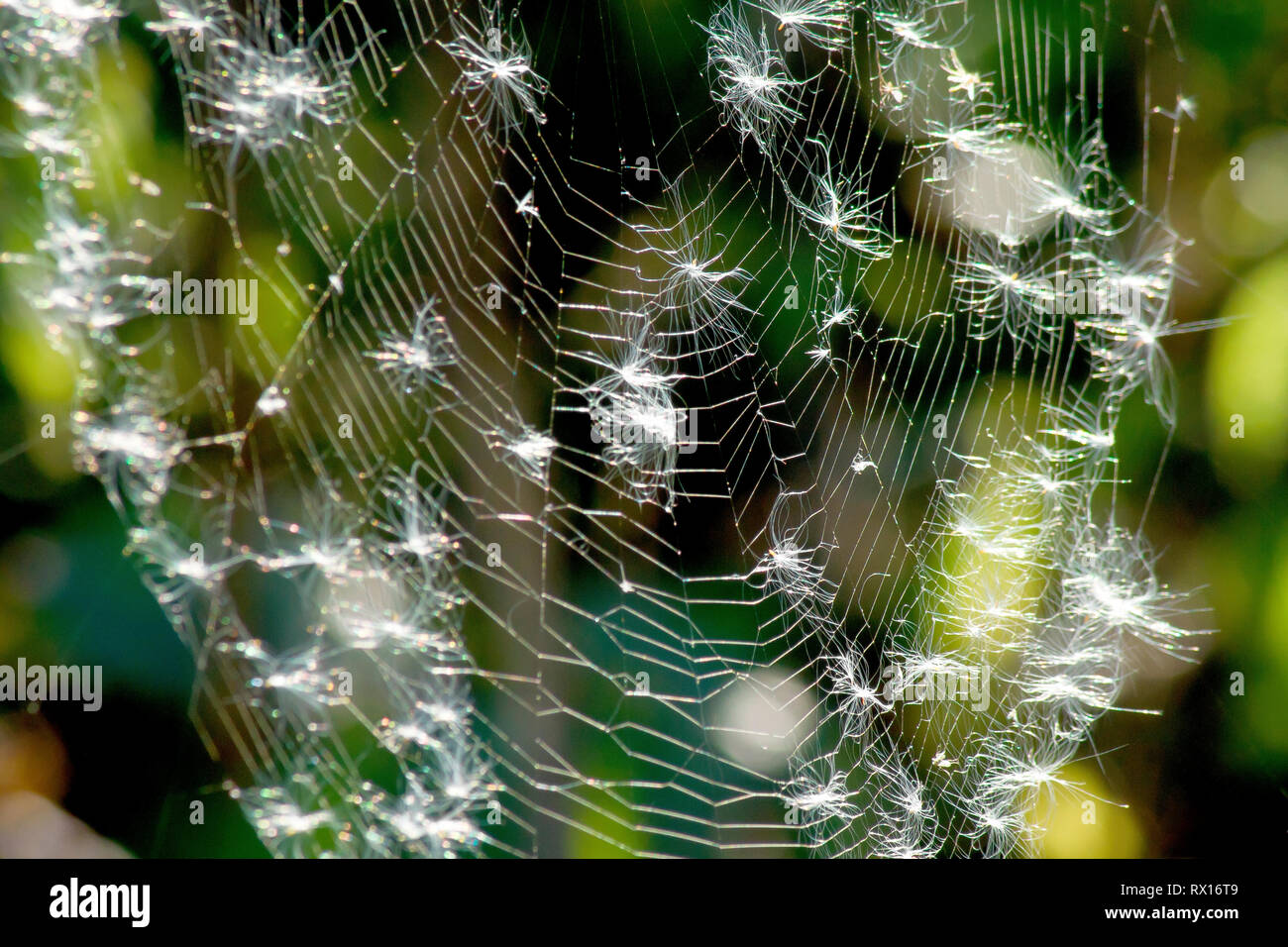 Close up of a back-lit spider's web covered in seeds released from Rosebay Willowherb (epilobium angustifolium). Stock Photo