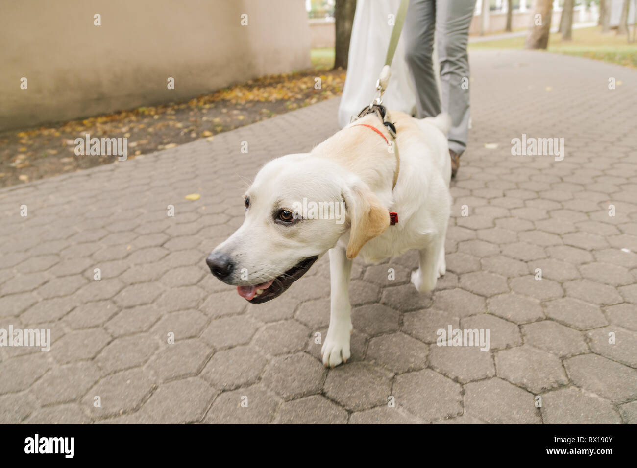 Owner and labrador retriever dog walking in the city. - Stock Image