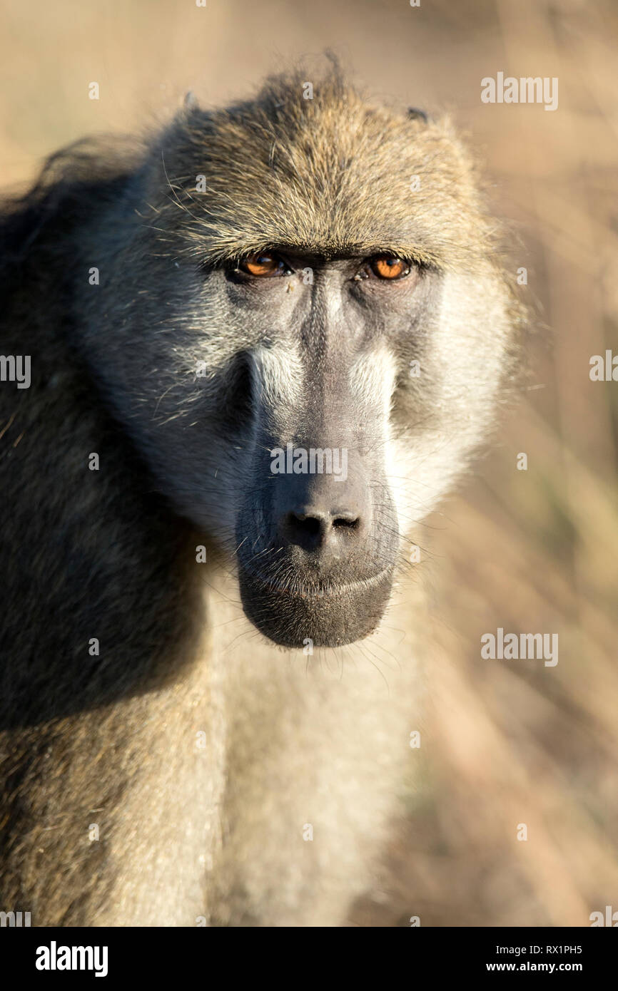 Baboon in golden afternoon light, Botswana. - Stock Image
