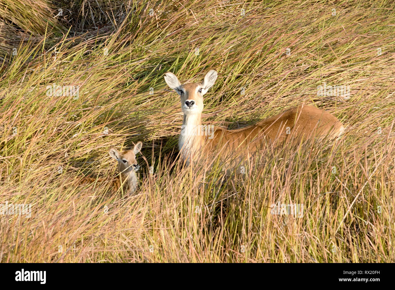 A red lechwe from the air in the Okavango Delta near chiefs island, Botswana. - Stock Image