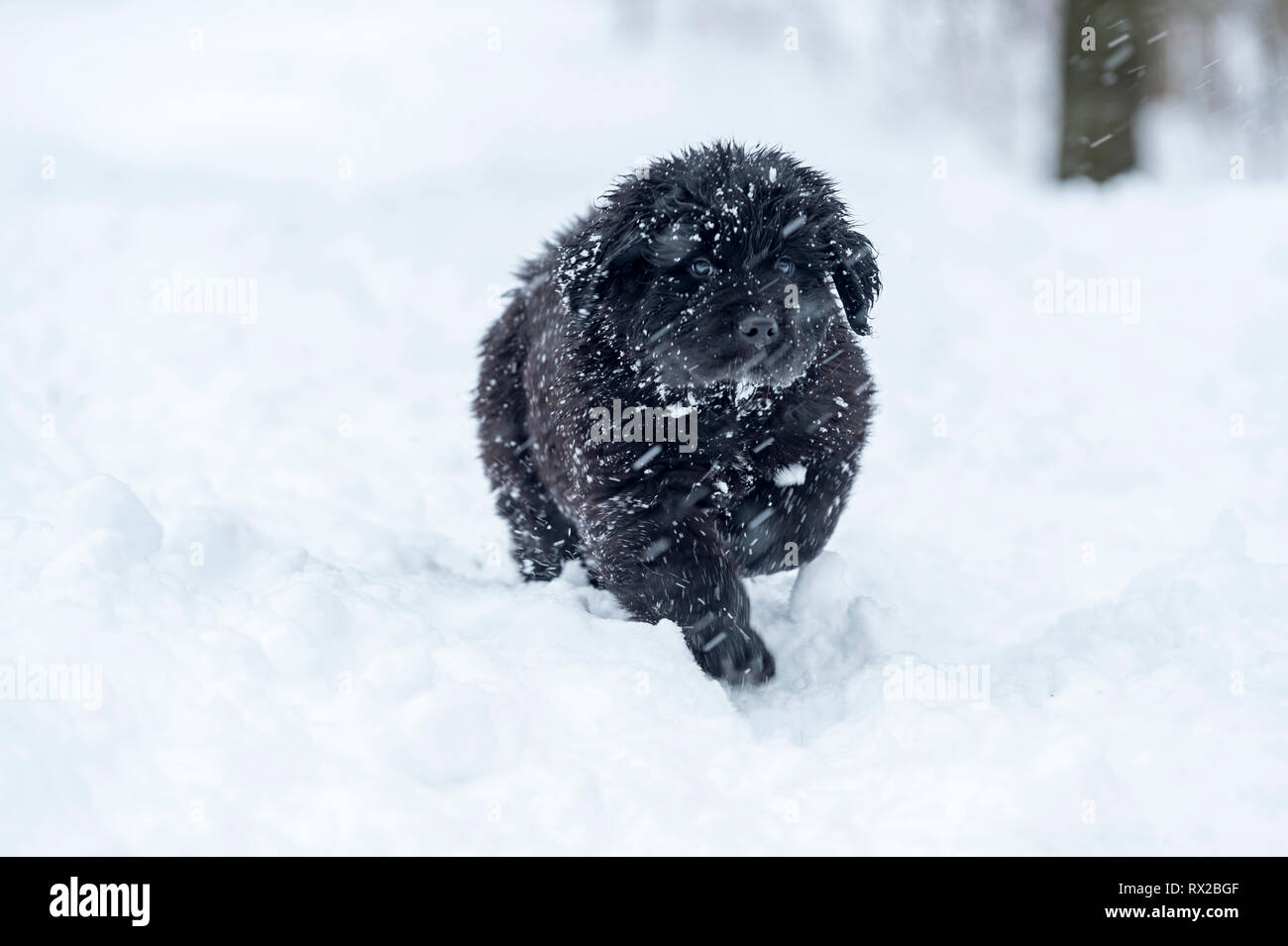 A Newfie puppy walking through the snow in a Canadian Winter - Stock Image