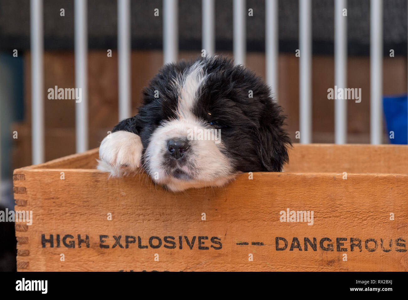 A  Newfie puppy sleeping in a wooden box - Stock Image