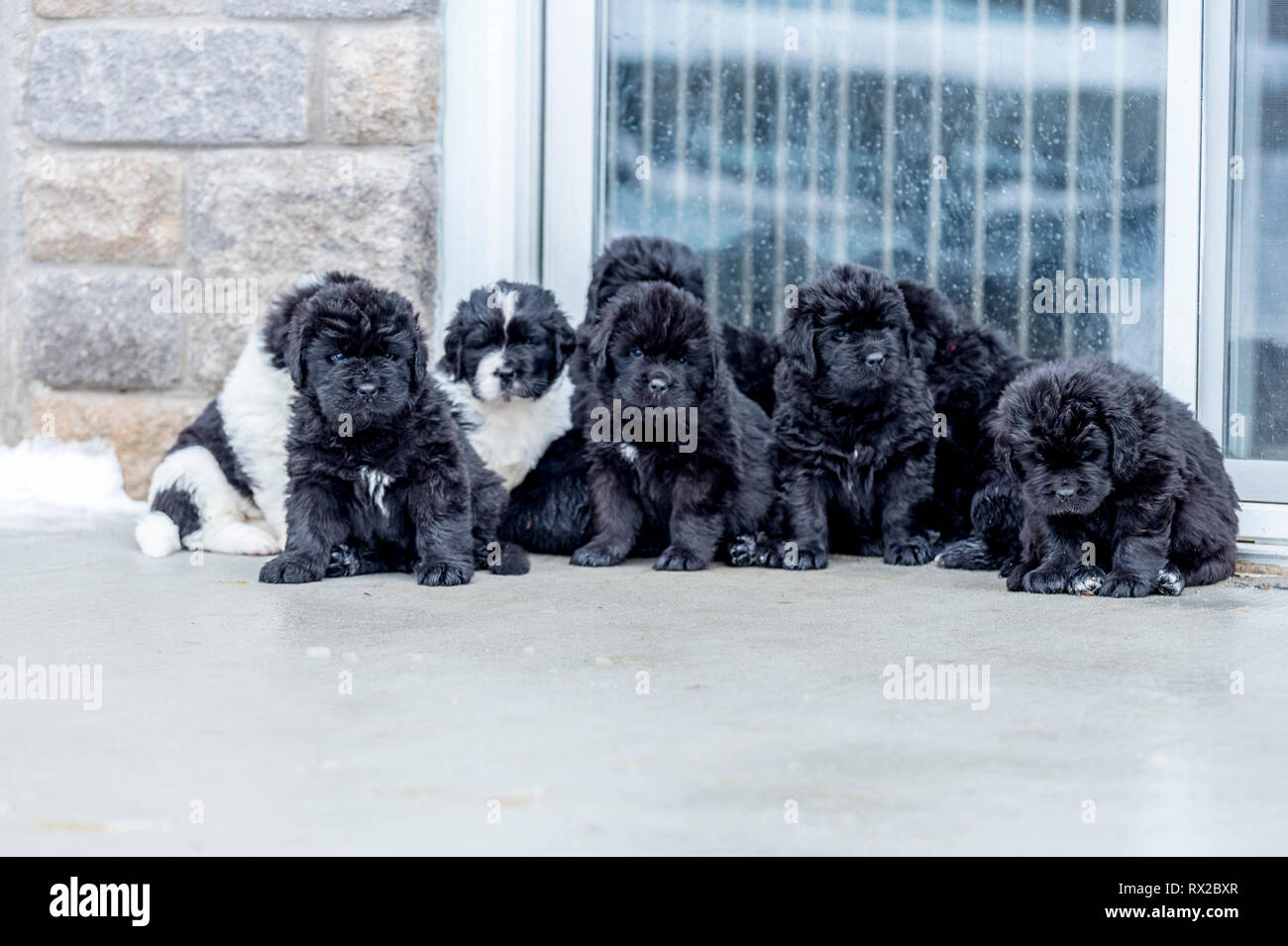 A large litter of Newfie puppies sitting in a row - Stock Image