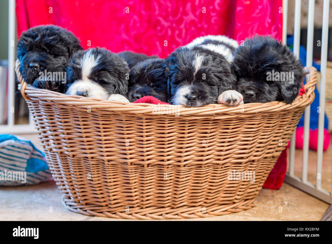 A large litter of Newfie puppies sitting in a basket. - Stock Image