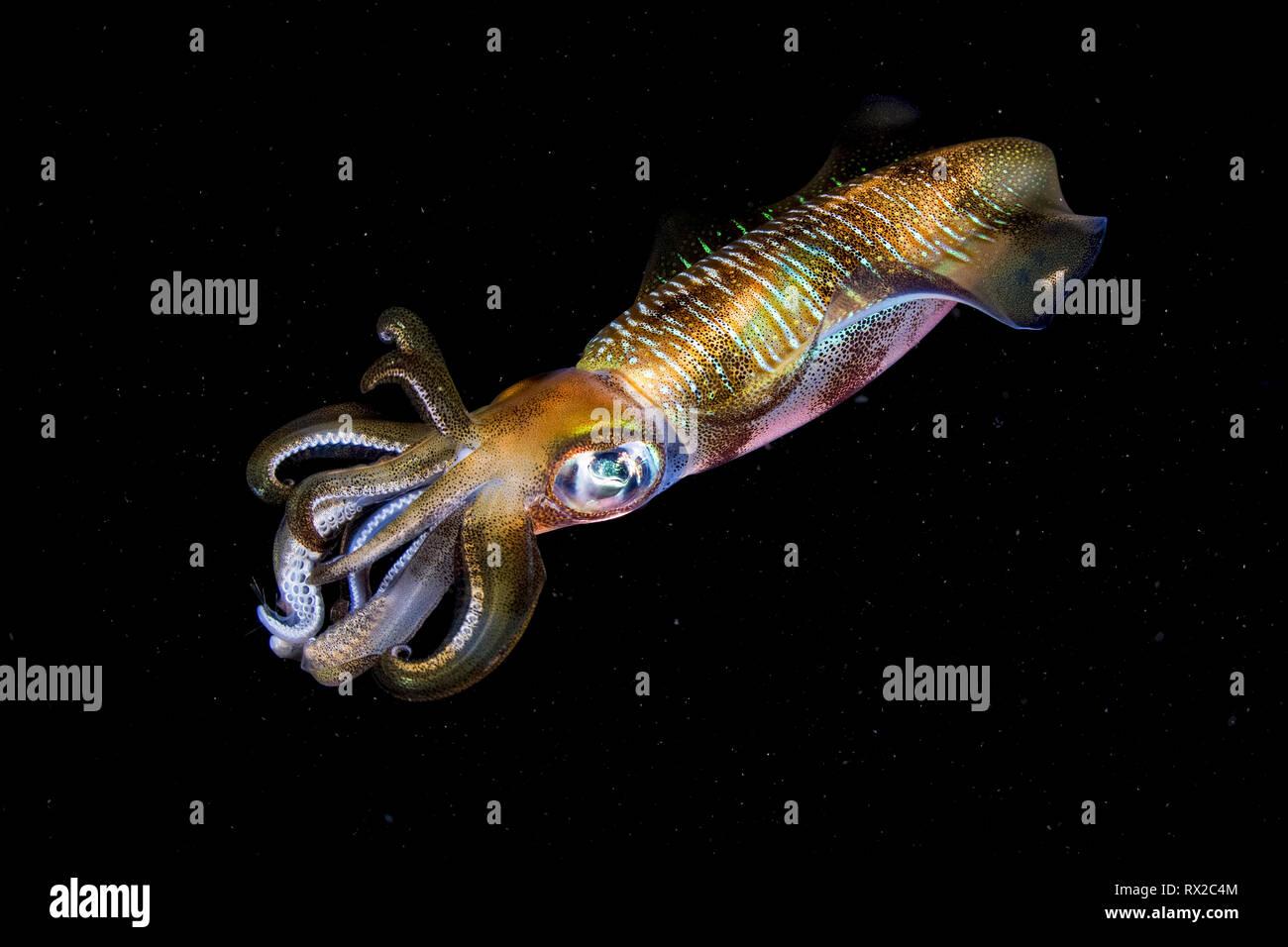 bigfin reef squid, Sepioteuthis lessoniana, aka oval squid, at night, Komodo National Park, Komodo, Lesser Sunda Islands, Indonesia, Indo-Pacific Ocea - Stock Image