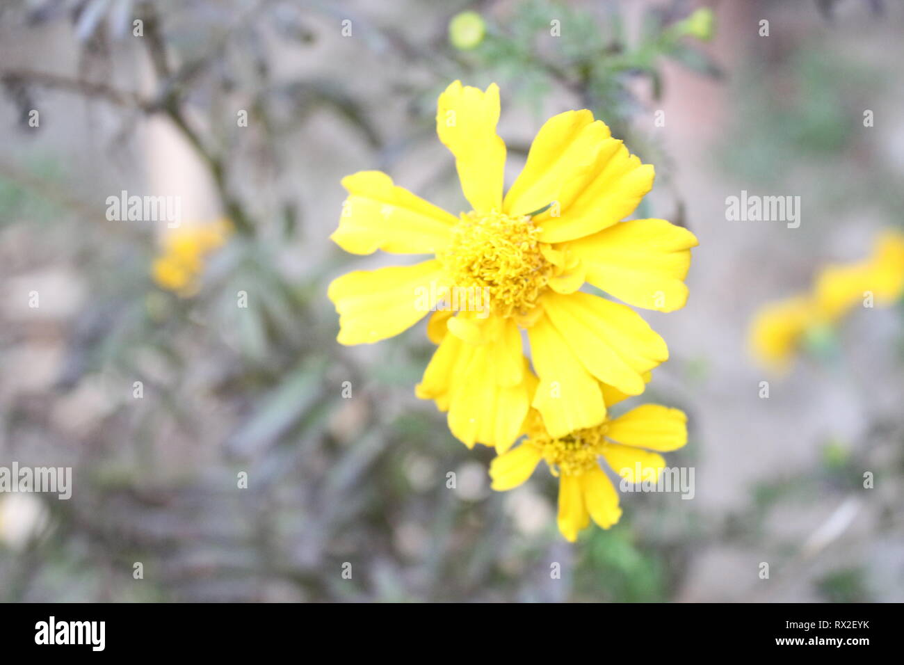 this is hill side flower. and this picture is shown the natural beauty of sikkim, this fascinating blooms is on every house in sikkim. - Stock Image