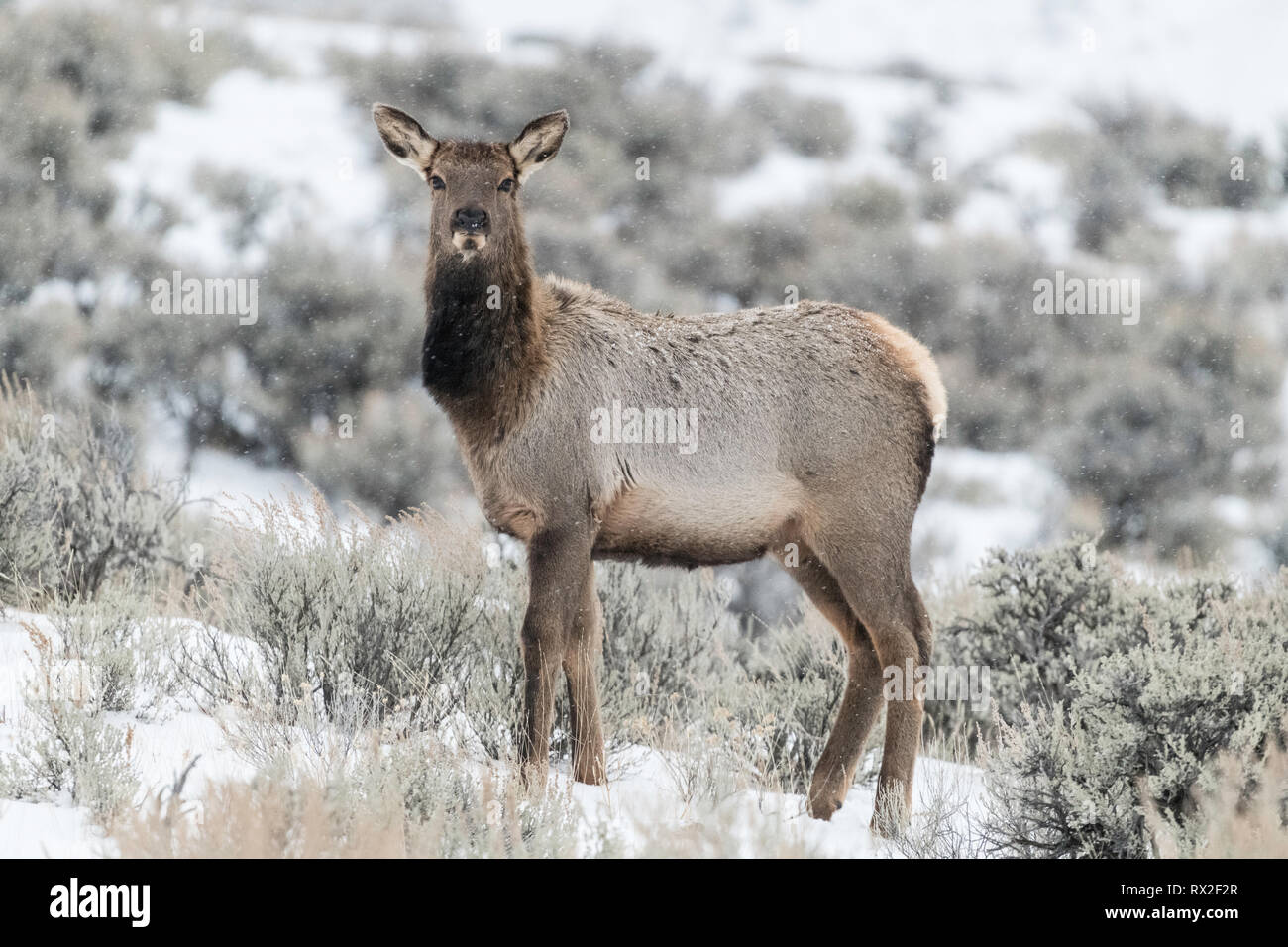 Elk (Cervus elaphus) on a snowy slope on the Columbia Blacktail Plateau. at Yellowstone National Park,Mammoth Hot Springs,Wyoming,USA on January 22 .  Stock Photo