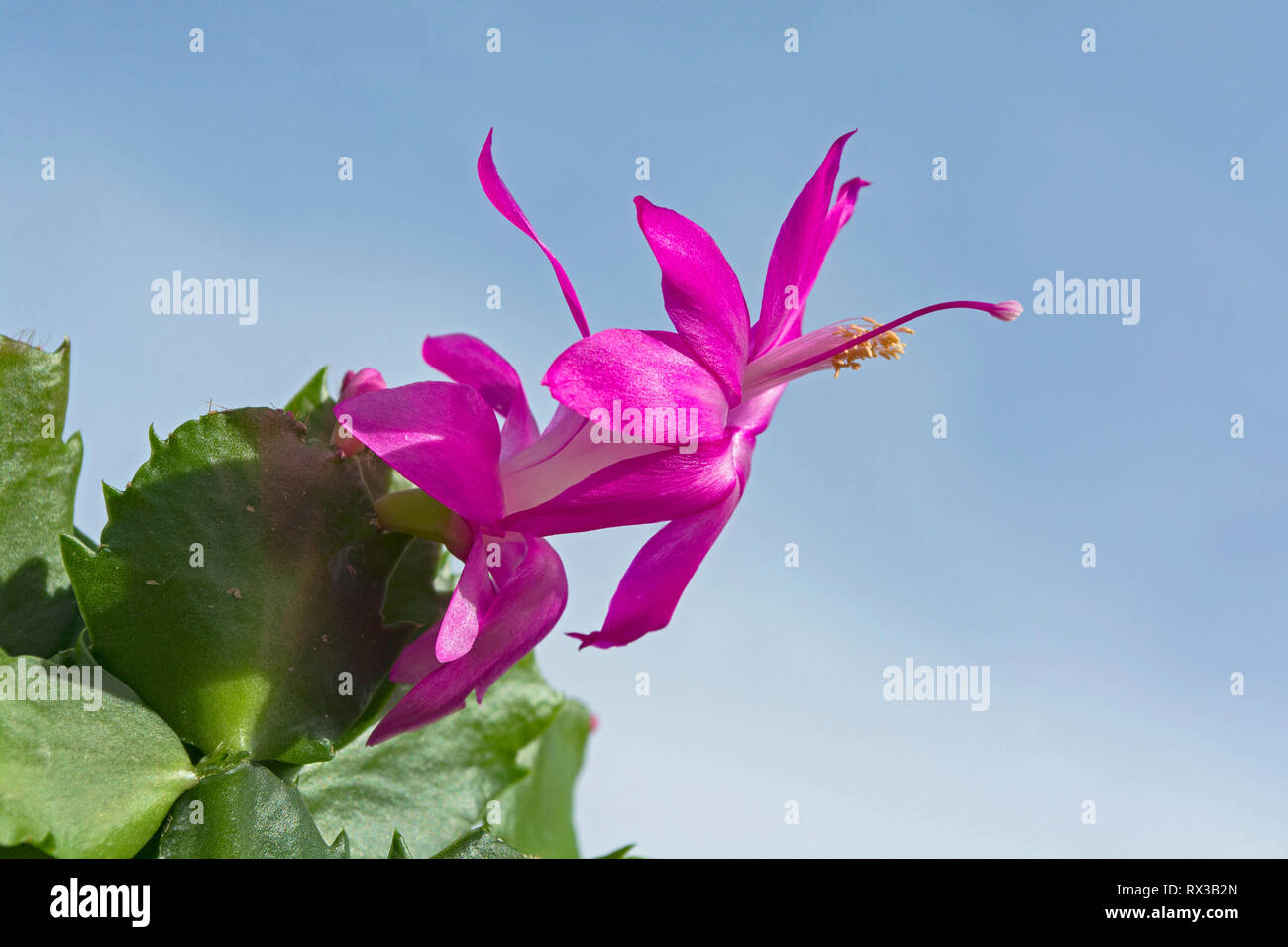dark pink magenta christmas cactus flower and green stems against a hazy blue sky - Stock Image