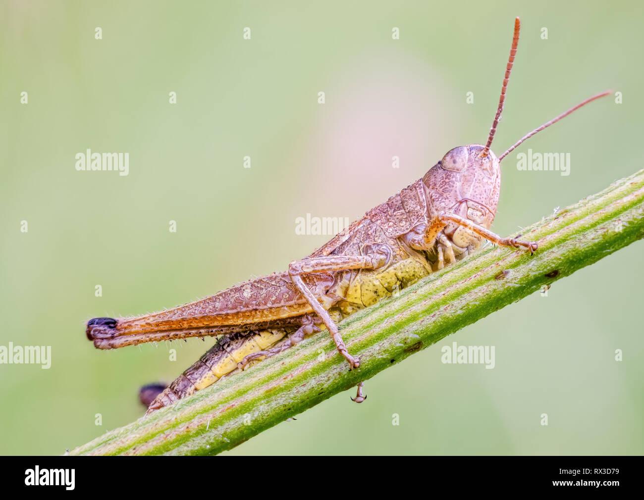 Heuhüpfer Makro, Nahaufnahme mit vielen Details mit Hilfe von Focus Bracketing. Detailreiche Makroaufnahmen von kleinen Tieren - Stock Image