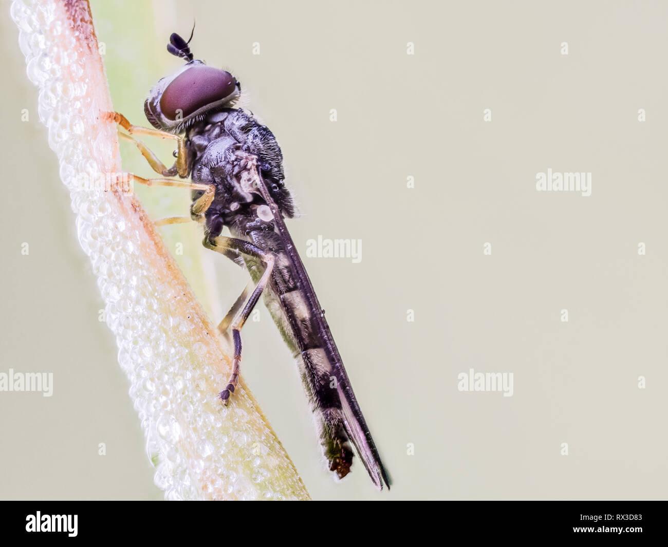 Insekten Makro, Nahaufnahme mit vielen Details mit Hilfe von Focus Bracketing. Detailreiche Makroaufnahmen von kleinen Tieren - Stock Image