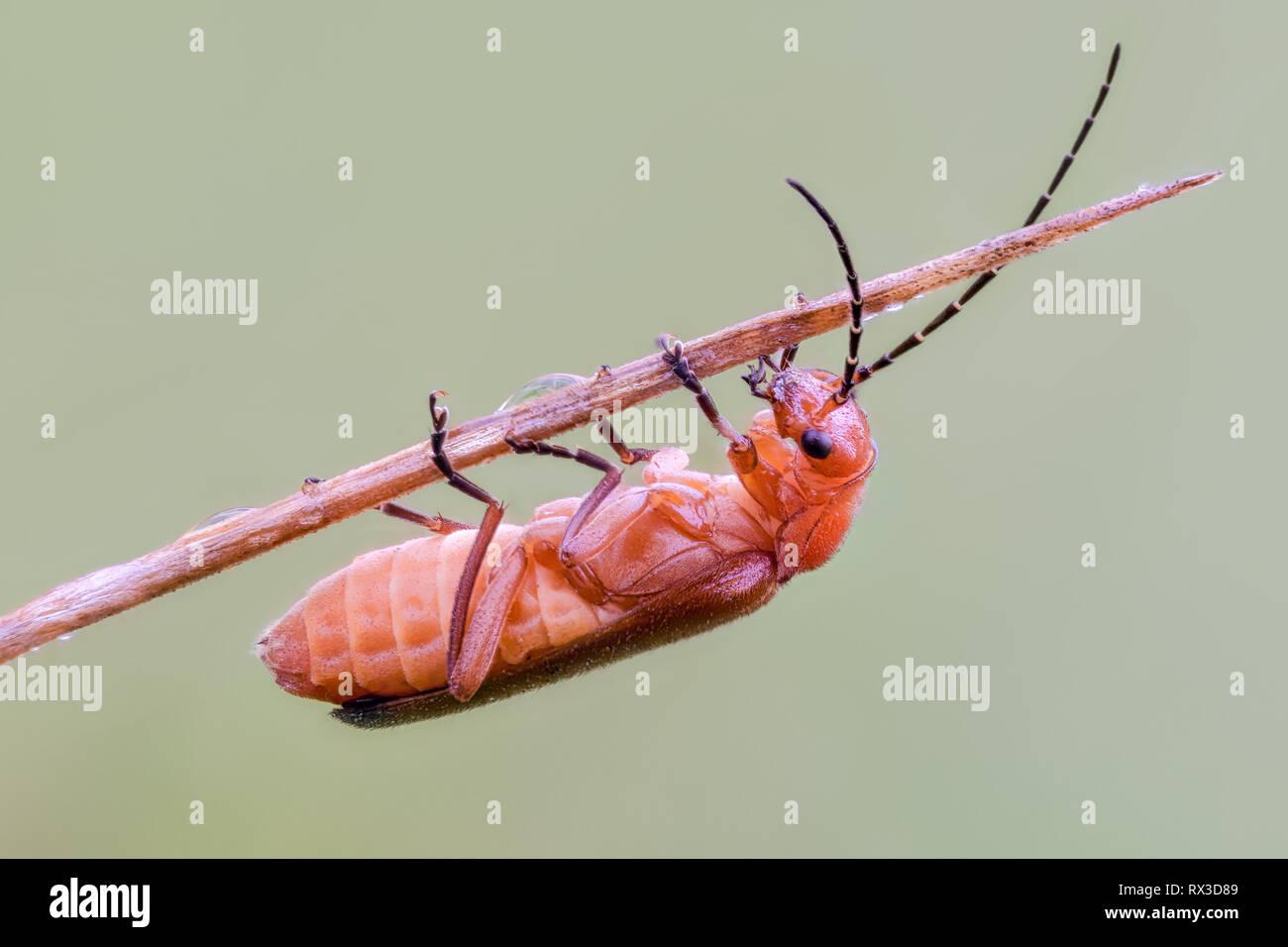 Käfer Makro, Nahaufnahme mit vielen Details mit Hilfe von Focus Bracketing. Detailreiche Makroaufnahmen von kleinen Tieren - Stock Image
