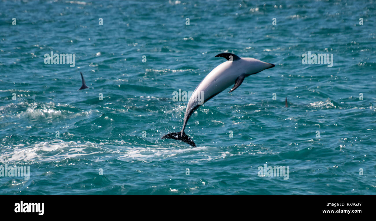 Dusky Dolphin (Lagenorhynchus obscurus) leaping out of sea at Kaikoura South Island New Zealand - Stock Image