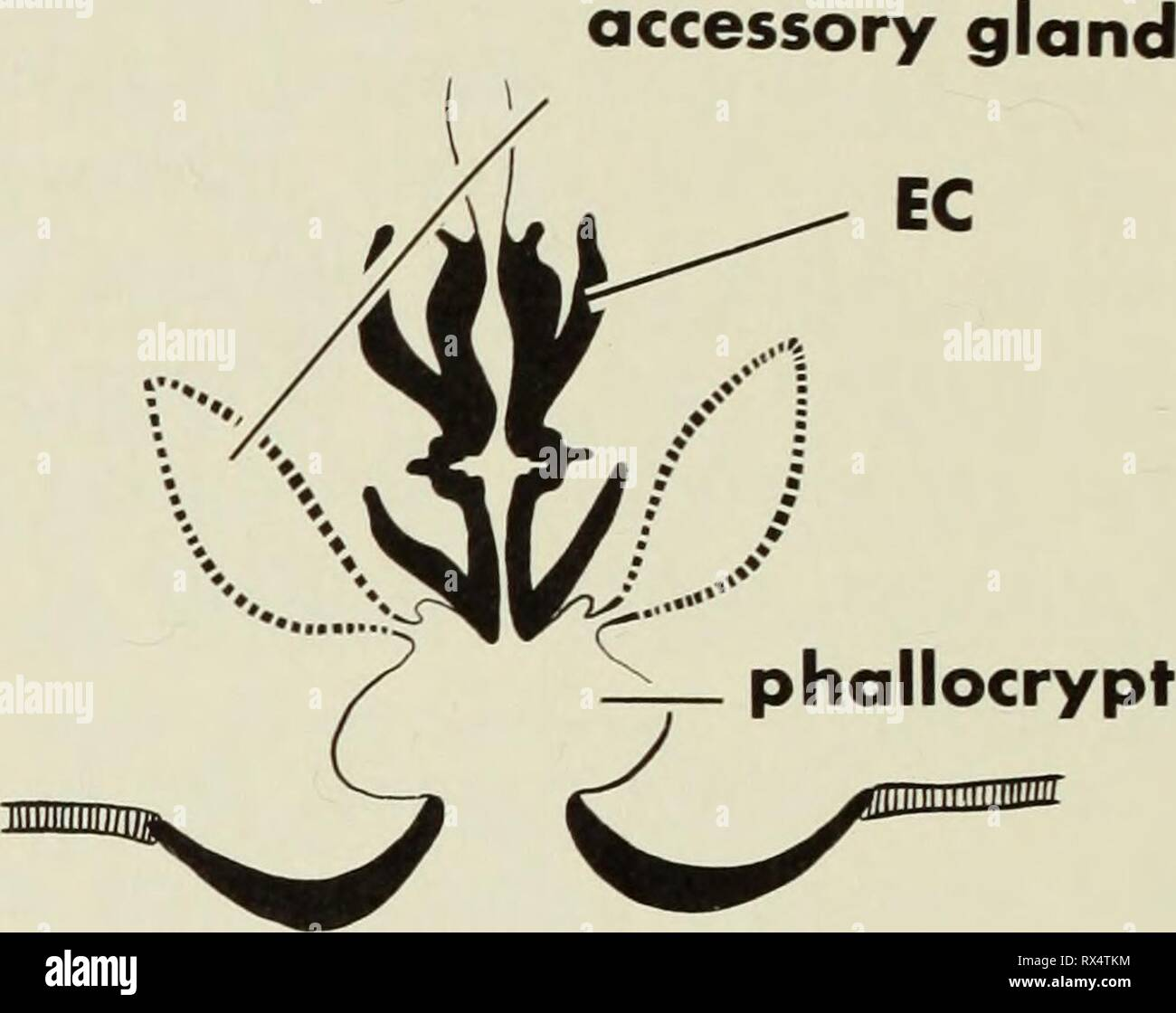 The ejaculatory complex in water The ejaculatory complex in water mites (Acari:parasitengona) : morphology and potential value for systematics ejaculatorycompl00barr Year: 1972  excretory pore coxa genital plate gnathosoma   midgut gnathosoma lb seminal vesicle ductus ejaculatorius gland - Stock Image