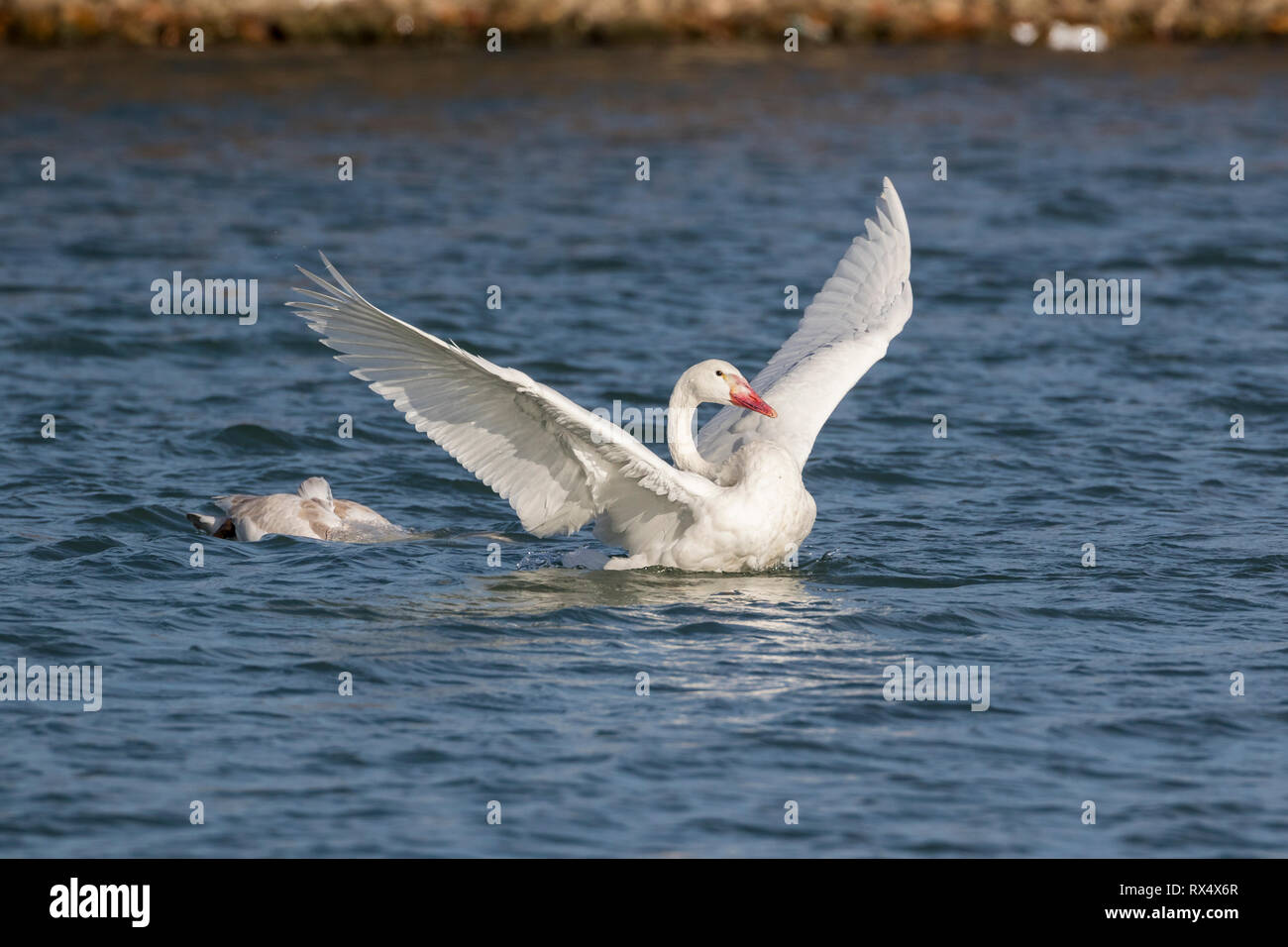 Juvenile Trumpeter Swans (Cygnus buccinator) on Lake Ontario at Bluffer's Park, Toronto, Ontario, Canada - the bright white one without black on its b - Stock Image