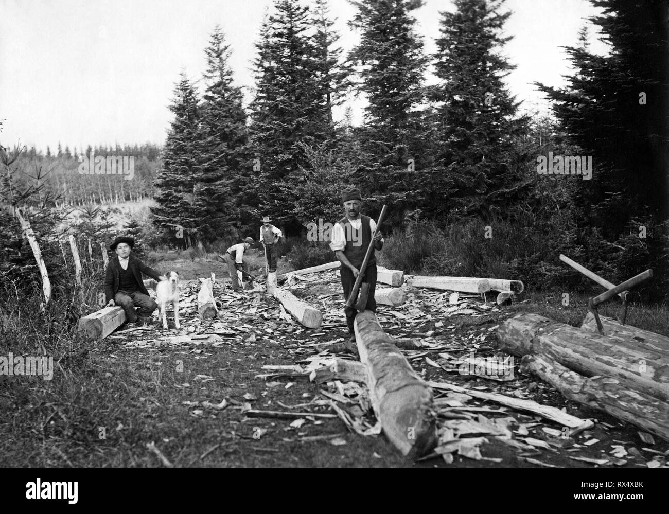 squaring cuts trunks, reggello 1910-20 - Stock Image