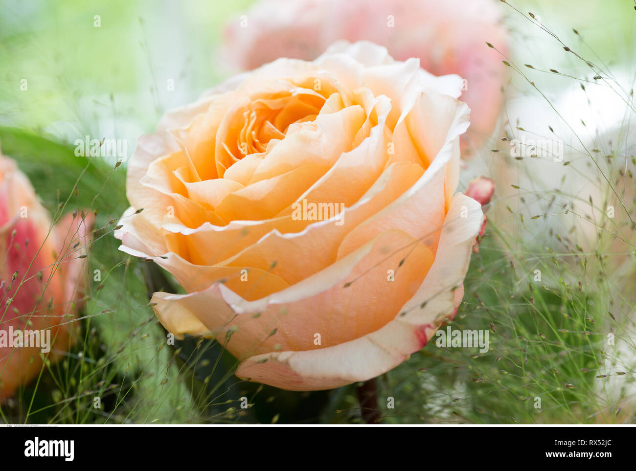 botany, rose bloom of the kind 'Caraluna', Caution! For Greetingcard-Use / Postcard-Use In German Speaking Countries Certain Restrictions May Apply - Stock Image