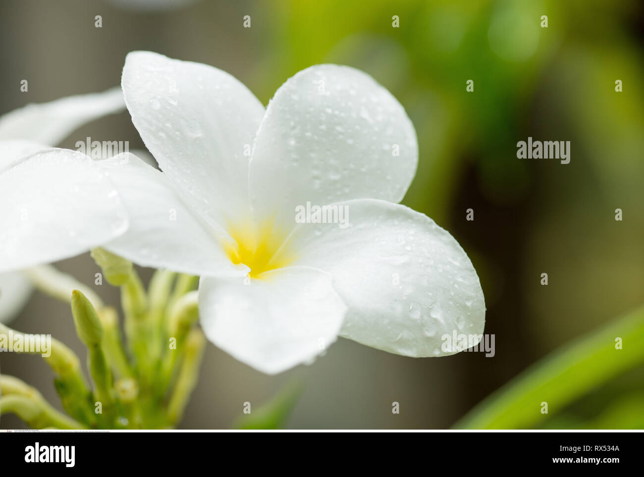 botany, blossom of the whitewash Frangipani, Caution! For Greetingcard-Use / Postcard-Use In German Speaking Countries Certain Restrictions May Apply - Stock Image