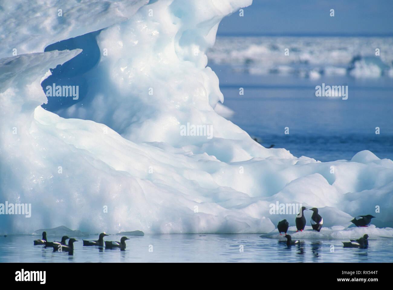 Black guillemots, Cephus grylle, on floe ice, July 23, 2001, Wager Bay, Nunavut, Canada - Stock Image