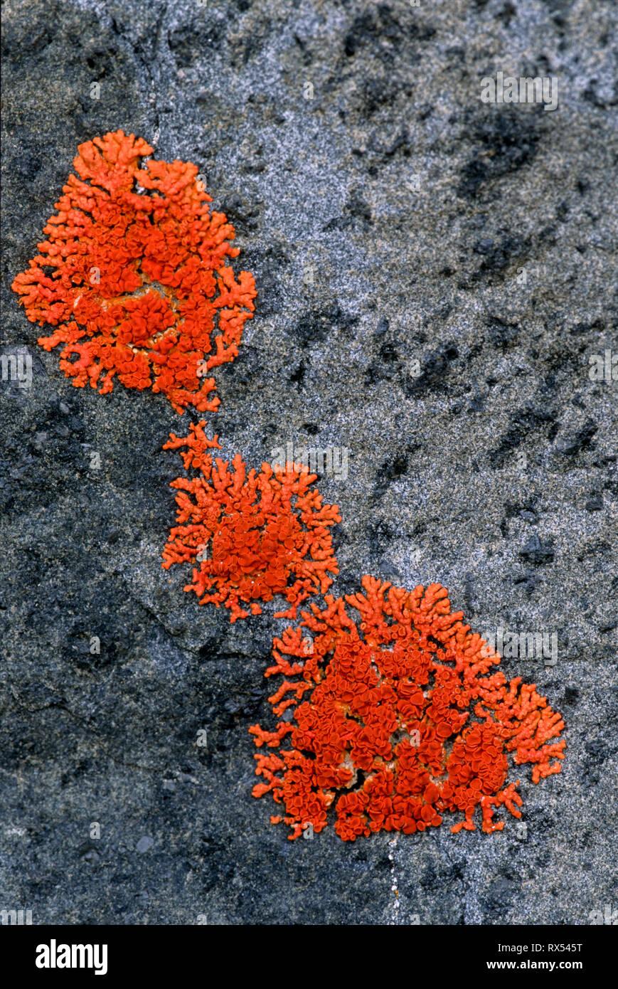 Jewel lichen on rock, Ukkusiksalik National Park, Wager Bay, Nunuvut, Canada - Stock Image