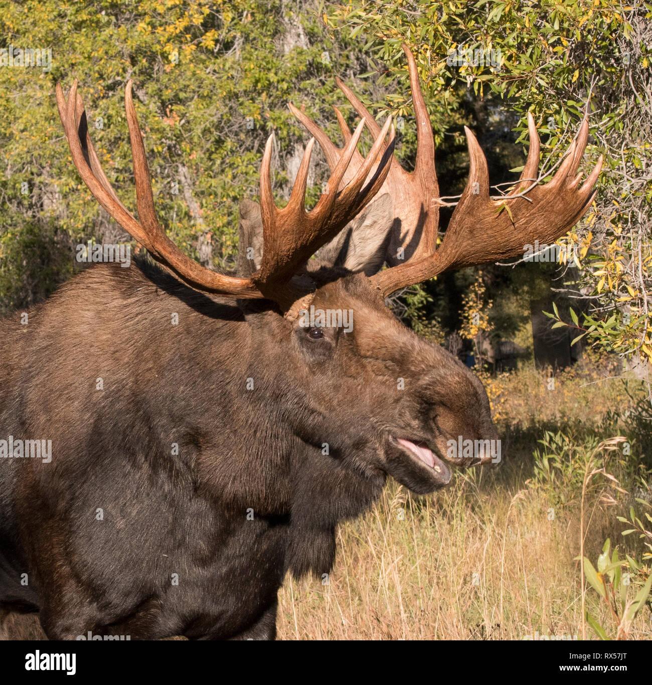 Grunting Bull Shiras Moose (Alces alces sherasi), Grand Teton National Park, Wyoming., autumn - Stock Image