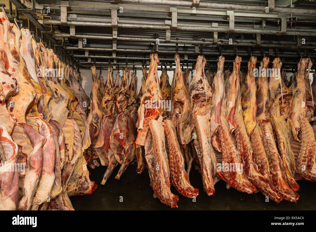 Halal Slaughter Stock Photos & Halal Slaughter Stock Images