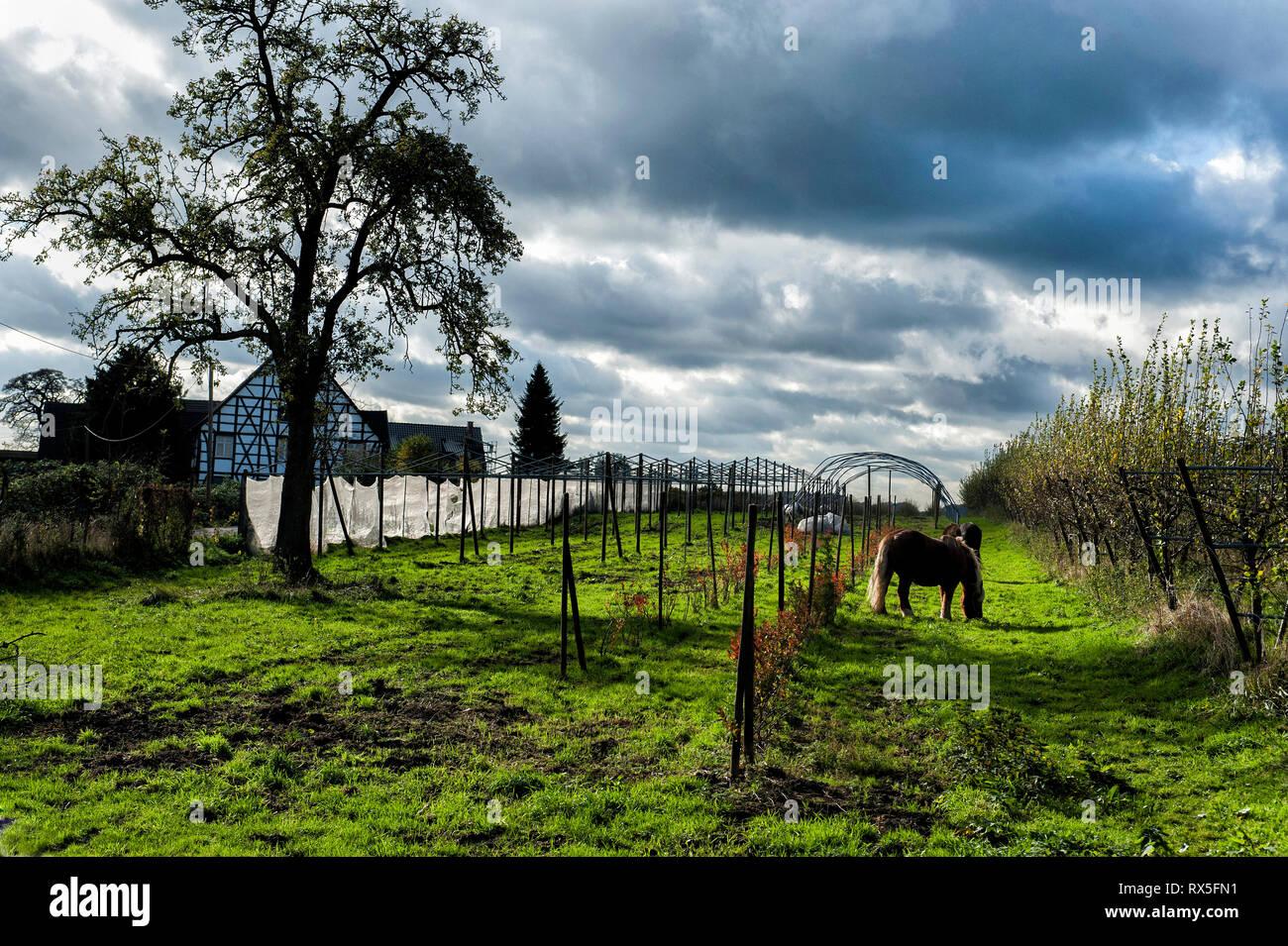 Laendliches Ruhrgebiet mit Wiesen im Herbst bei interessanter Lichtstimmung in Muelheim Ruhr. Grasende Pferde auf einer Koppel. - Stock Image
