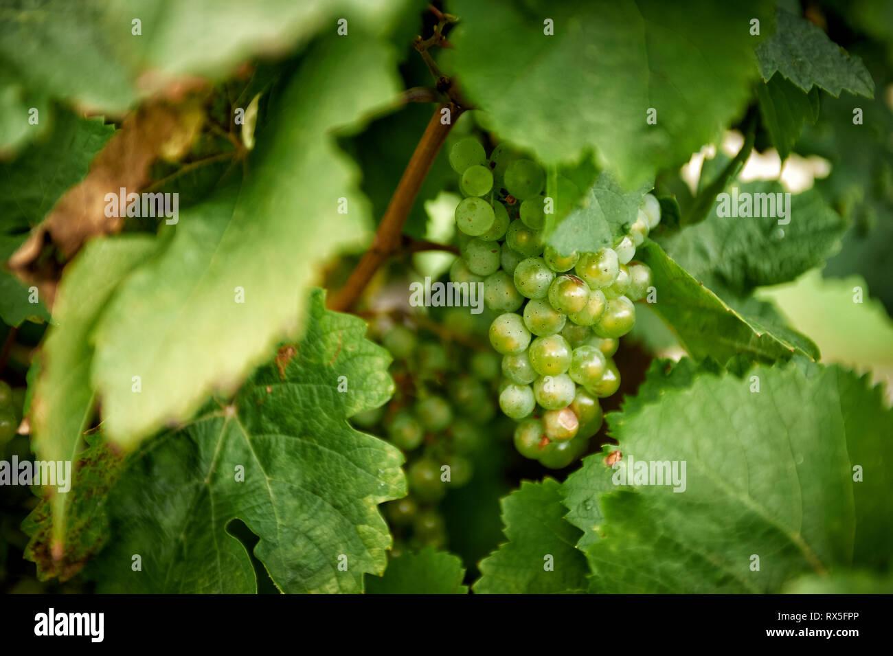 Eine Weissweinrebe haent zwischen vielen gruenen Weinblaettern. Stock Photo