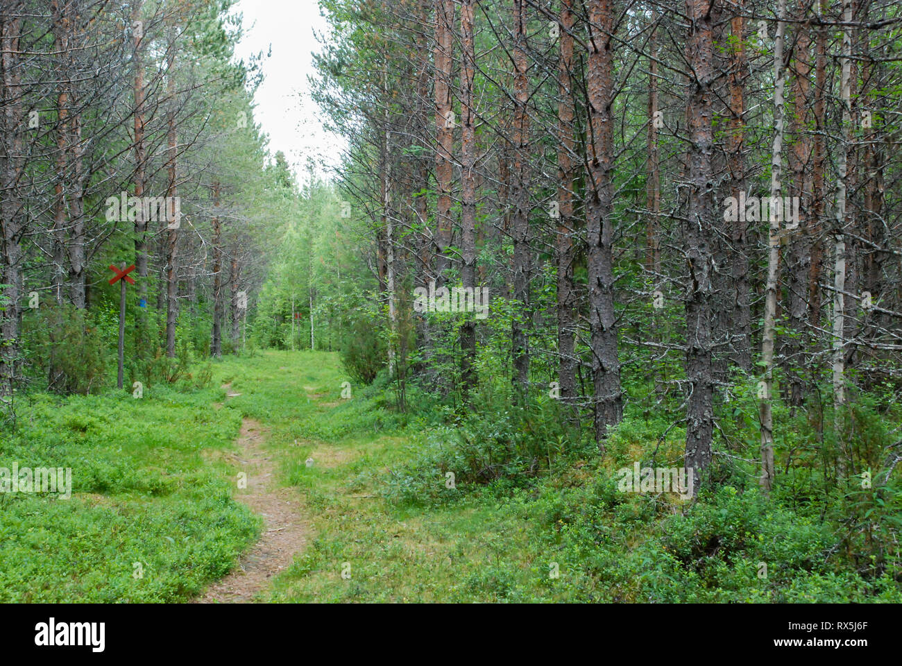Taiga Forest (boreal forest) biome, natural wild landscape in north eastern Finland, Europe, with coniferous trees including pines and spruces. - Stock Image