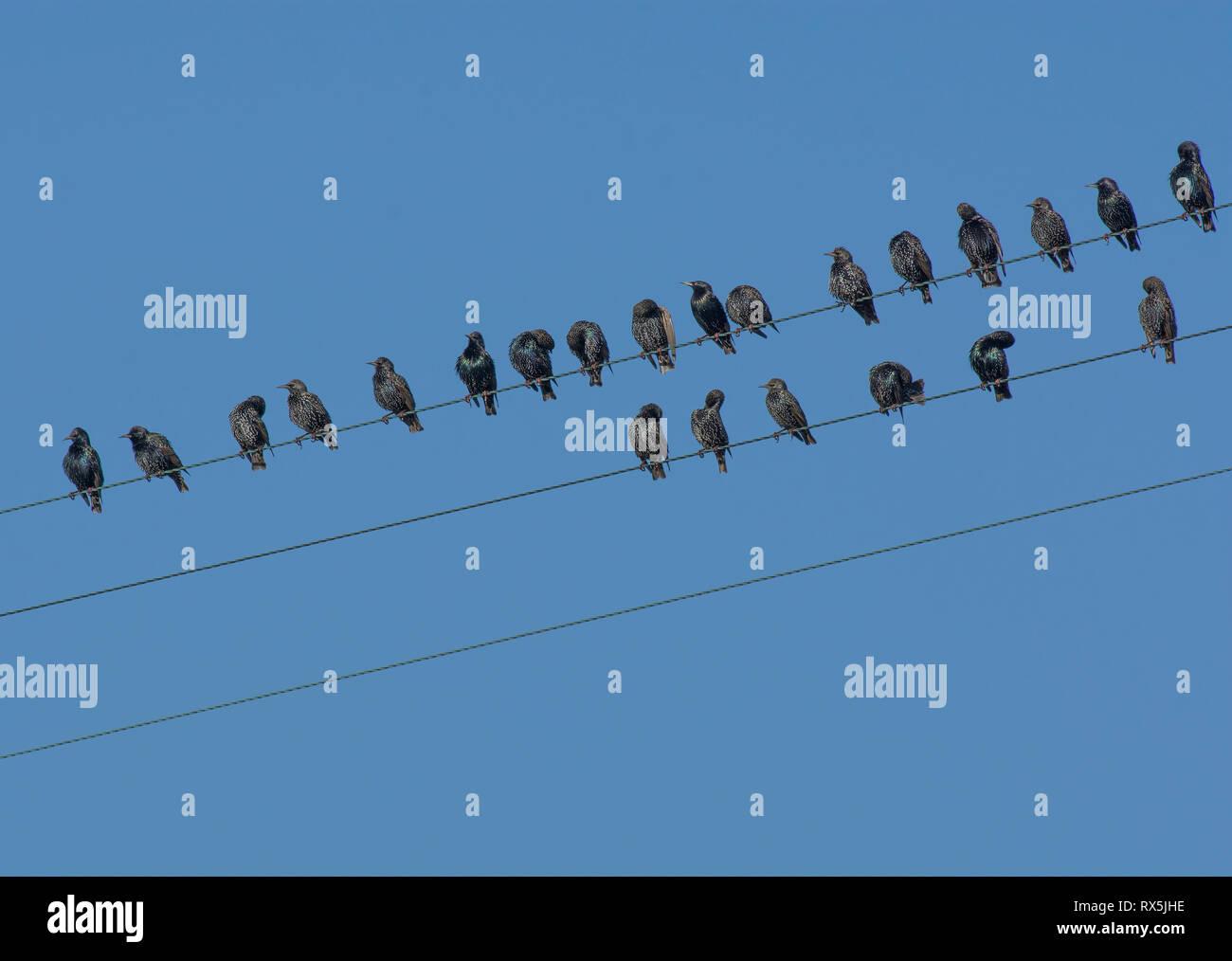 common starlings / european starling, sturnus vulgaris, flock congregating  on telephone wire, lancashire, uk