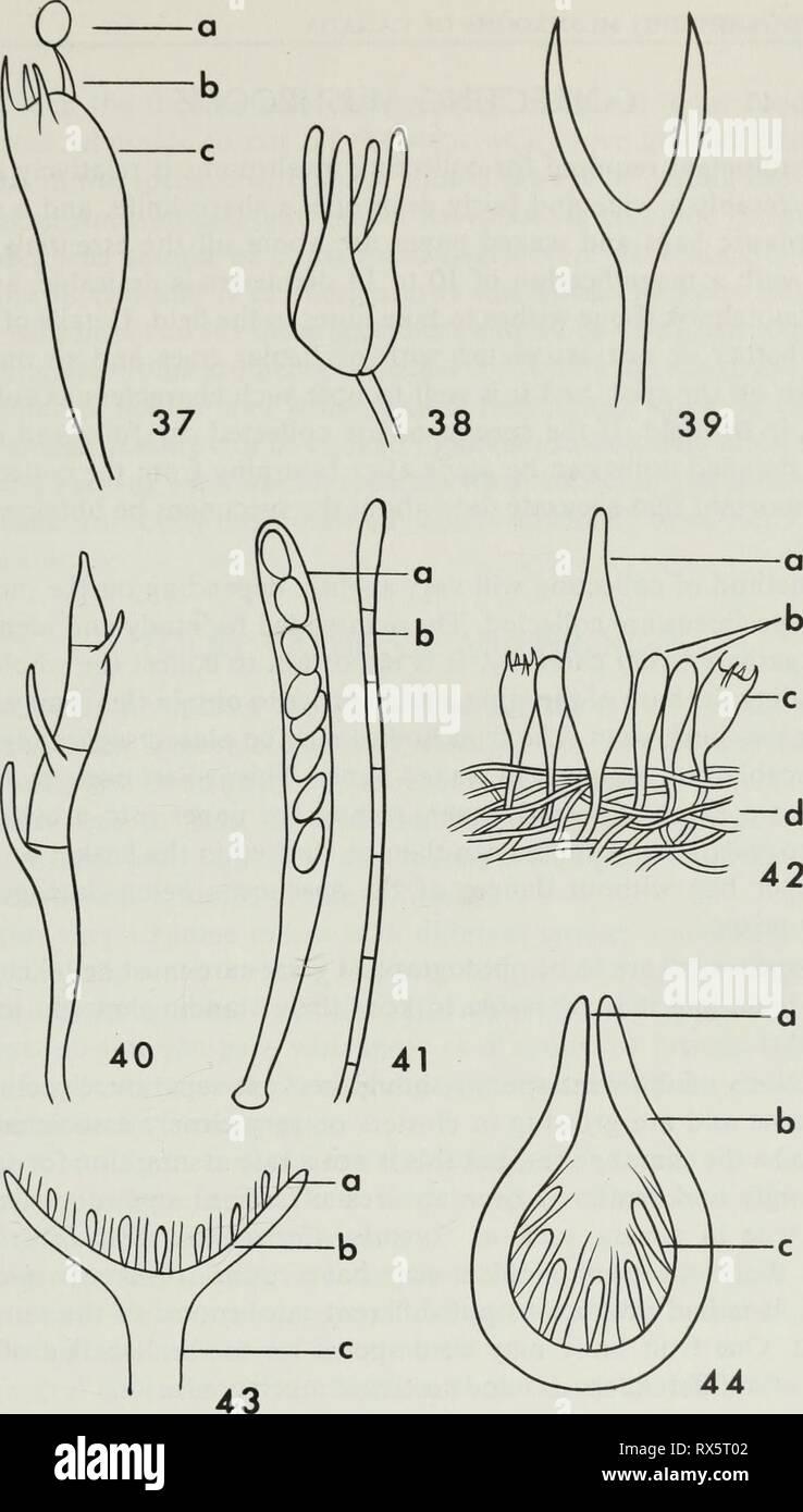 Edible and poisonous mushrooms of Edible and poisonous mushrooms of Canada ediblepoisonousm00grov Year: 1979  Figures 37-40. Semidiagrammatic drawings illustrating various types of basidia: 37, basidium of Agaricaceae (a spore, b sterigma, c basidium); 38, basidium of Tremellaceae with longi- tudinal septa; 39, deeply forked basidium of Dacrymycetaceae; 40, basidium of Auricularia- ceae with transverse septa. Figure 41. Semidiagrammatic drawing of: a ascus containing ascospores, b paraphysis. Figure 42. Diagram illustrating a small section of the lamella of a mushroom: a cystidium, b paraphyse - Stock Image