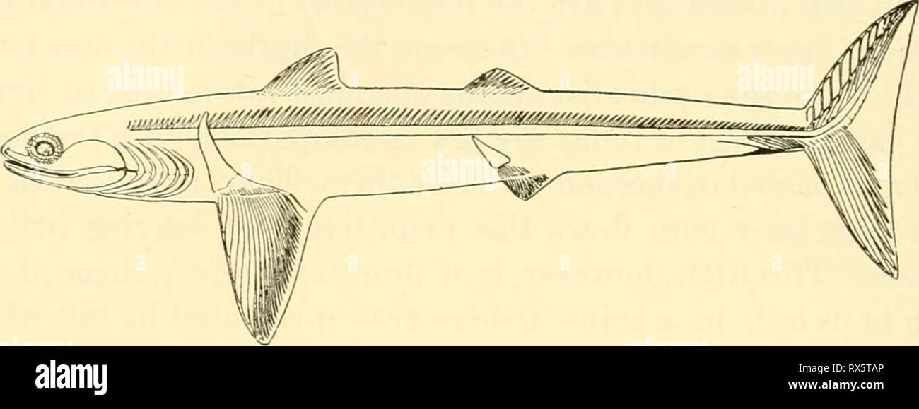 The elasmobranch fishes (1934) The elasmobranch fishes elasmobranchfish03dani Year: 1934  2 THE ELASMOBRANCH FISHES there are many of the present-day characteristics peculiar to the sharks. In addition, bj' the structure of its limbs and tail, it suggests relationship to the interesting group of Dipnoans or lungfishes. Equallj' as interesting as the extinct forms preserved to us in the rocks are others, less ancient though the}' be, which have come down to us in flesh and blood. Of these living representatives of the past some are among the most   Fig. 10. Cladoselachus. (From Dean.) interesti - Stock Image