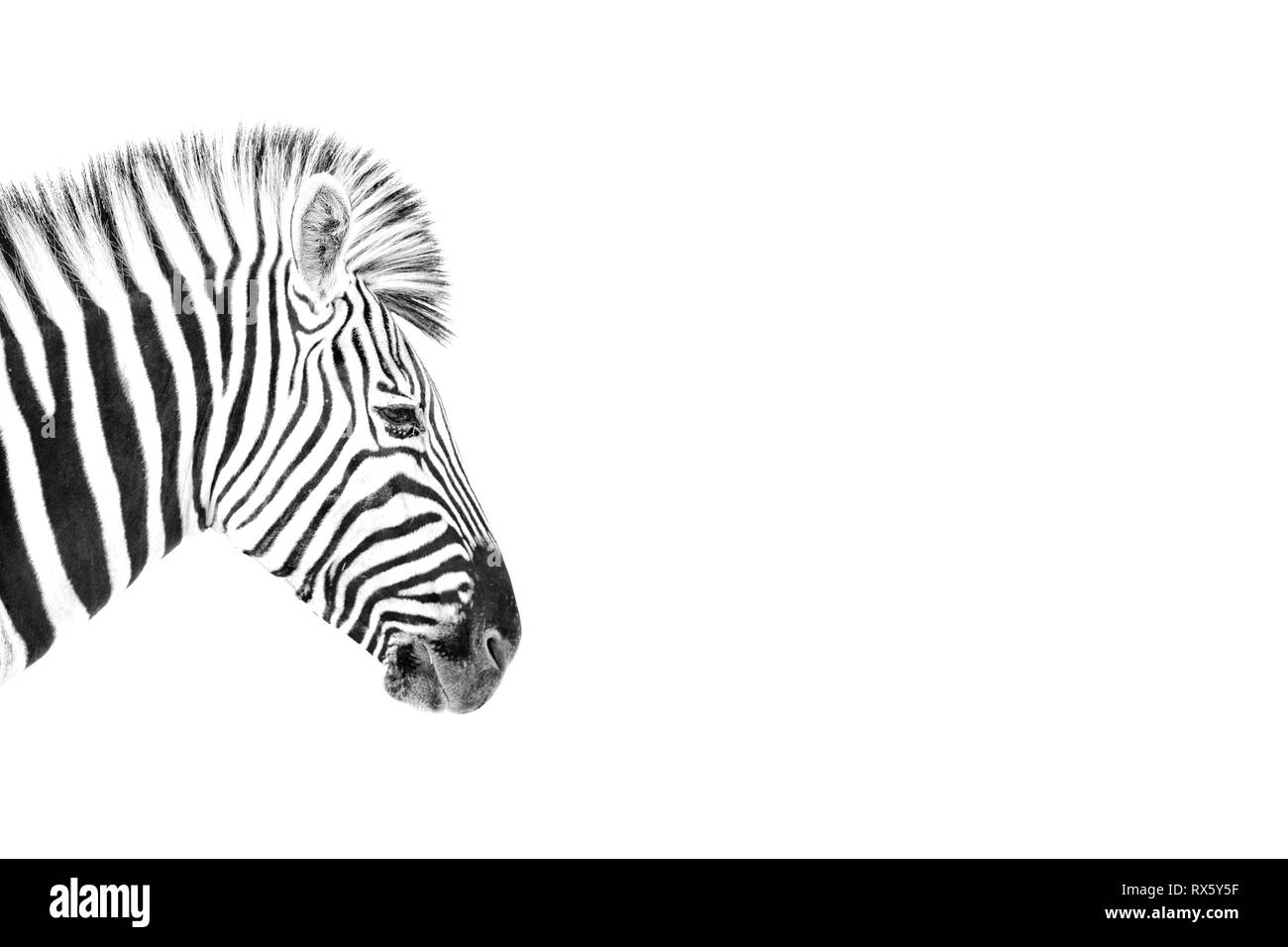 A High Key image of a Zebra - Stock Image