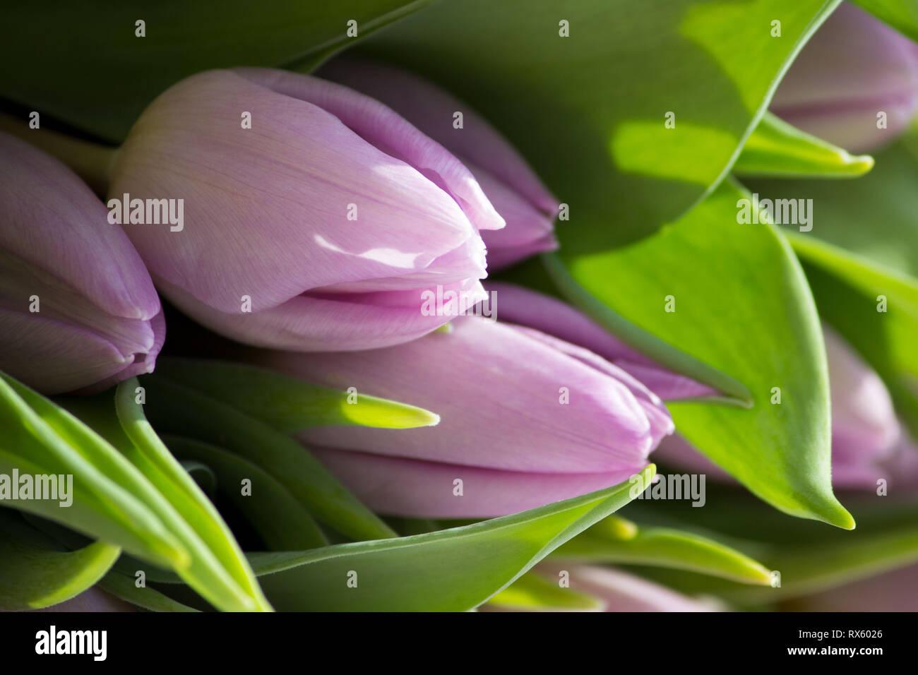 Beautiful bouquet of many small lavender tulips Tulipa for celebration. Stock Photo