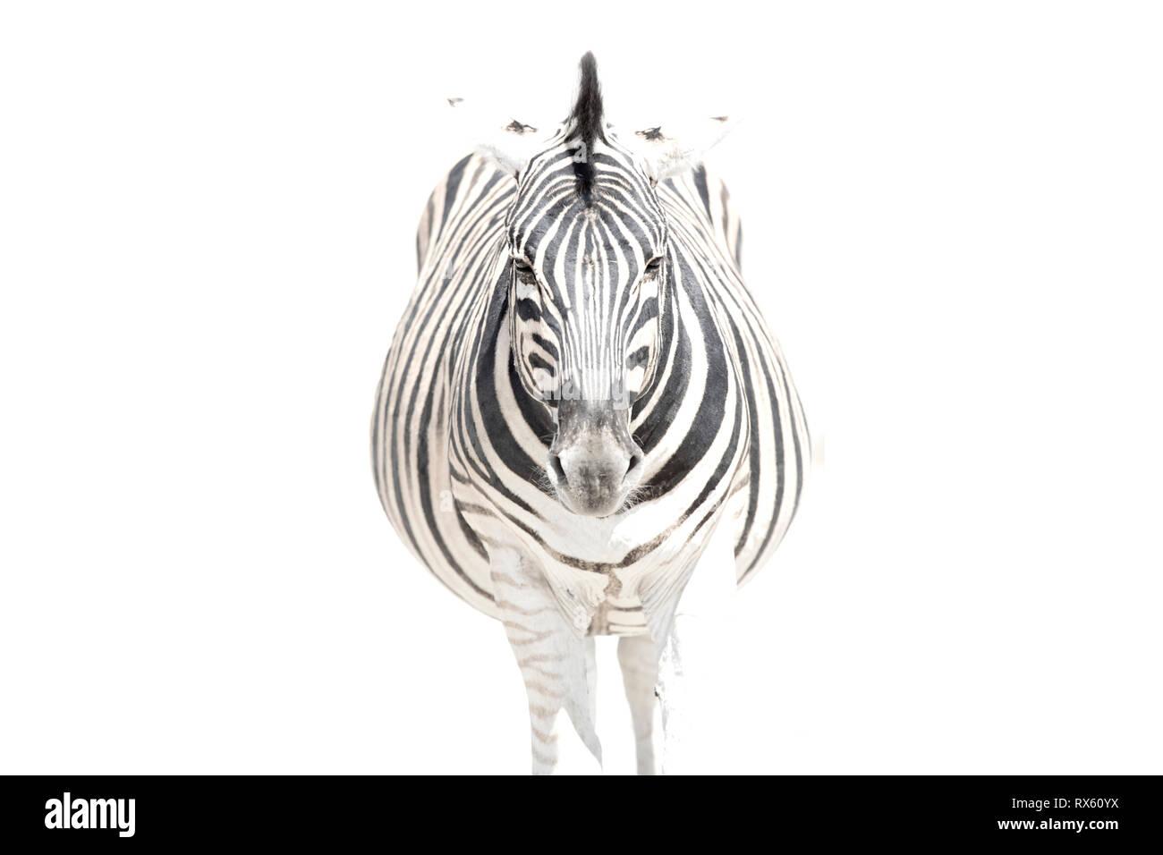 A High Key image of a Zebra - Stock Image