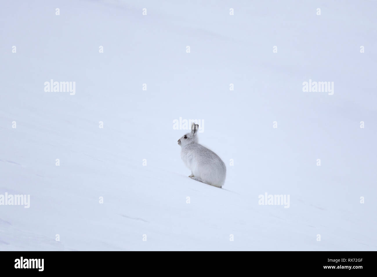 Mountain hare / Alpine hare / snow hare (Lepus timidus) in white winter pelage in the Scottish Highlands, Scotland, UK - Stock Image