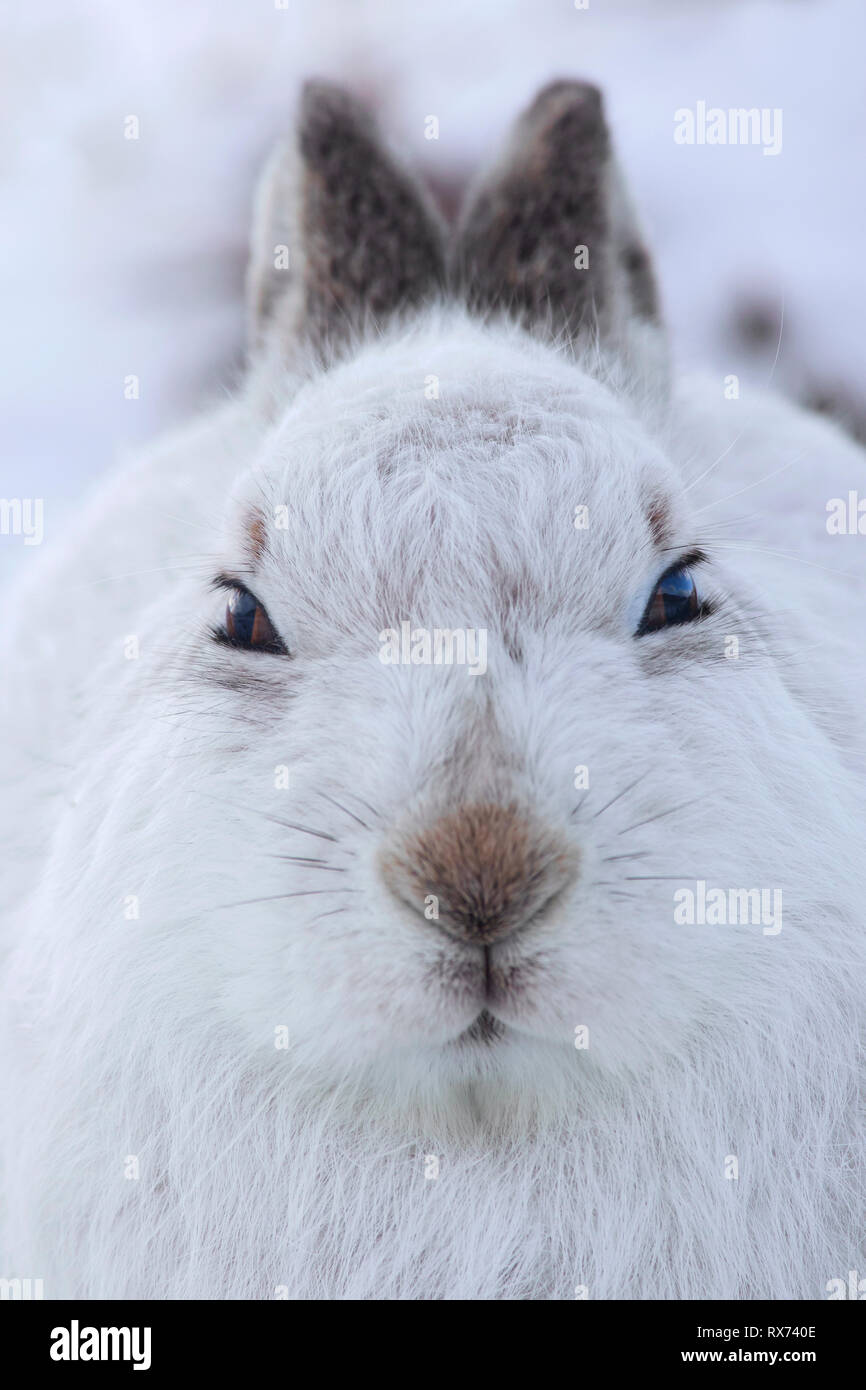 Close-up portrait of mountain hare / Alpine hare / snow hare (Lepus timidus) in white winter pelage sitting in the snow, Cairngorms NP, Scotland, UK - Stock Image