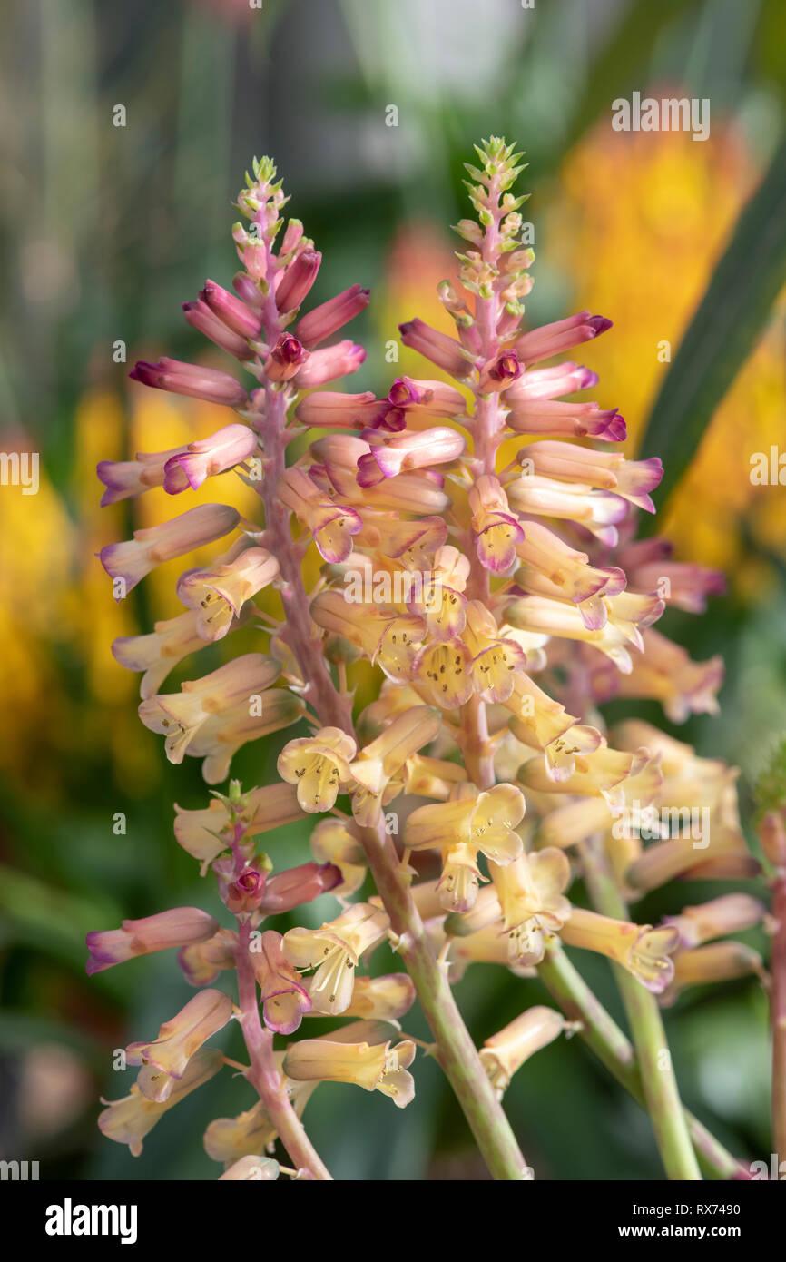 Cape Hyacinth Lachenalia Elegens v Elegens 10 Seeds