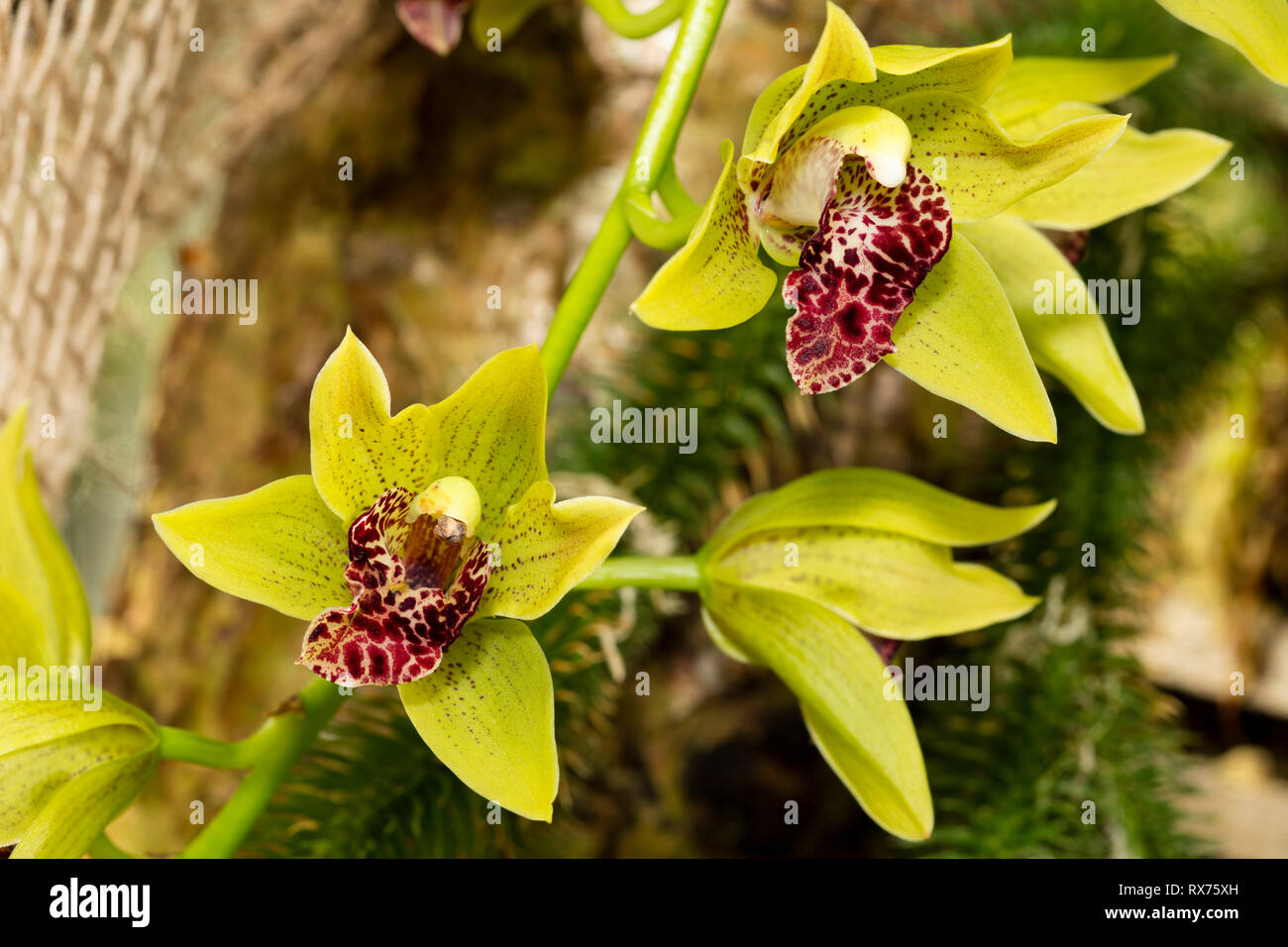 botany, orchid, (orchidaceae), blossom, Additional-Rights-Clearance-Info-Not-Available - Stock Image