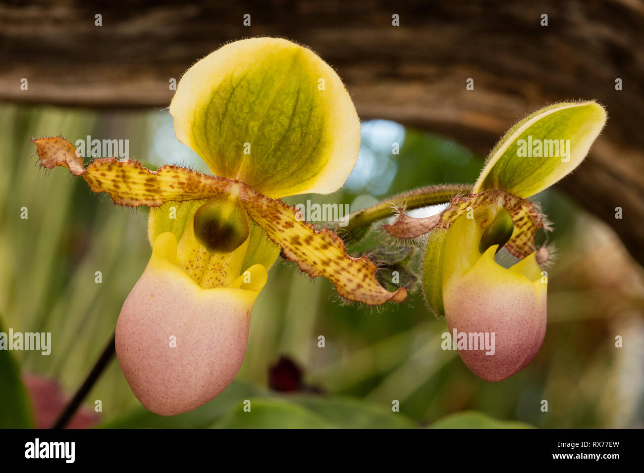 botany, Slipper orchid (Paphiopedilum), Additional-Rights-Clearance-Info-Not-Available - Stock Image