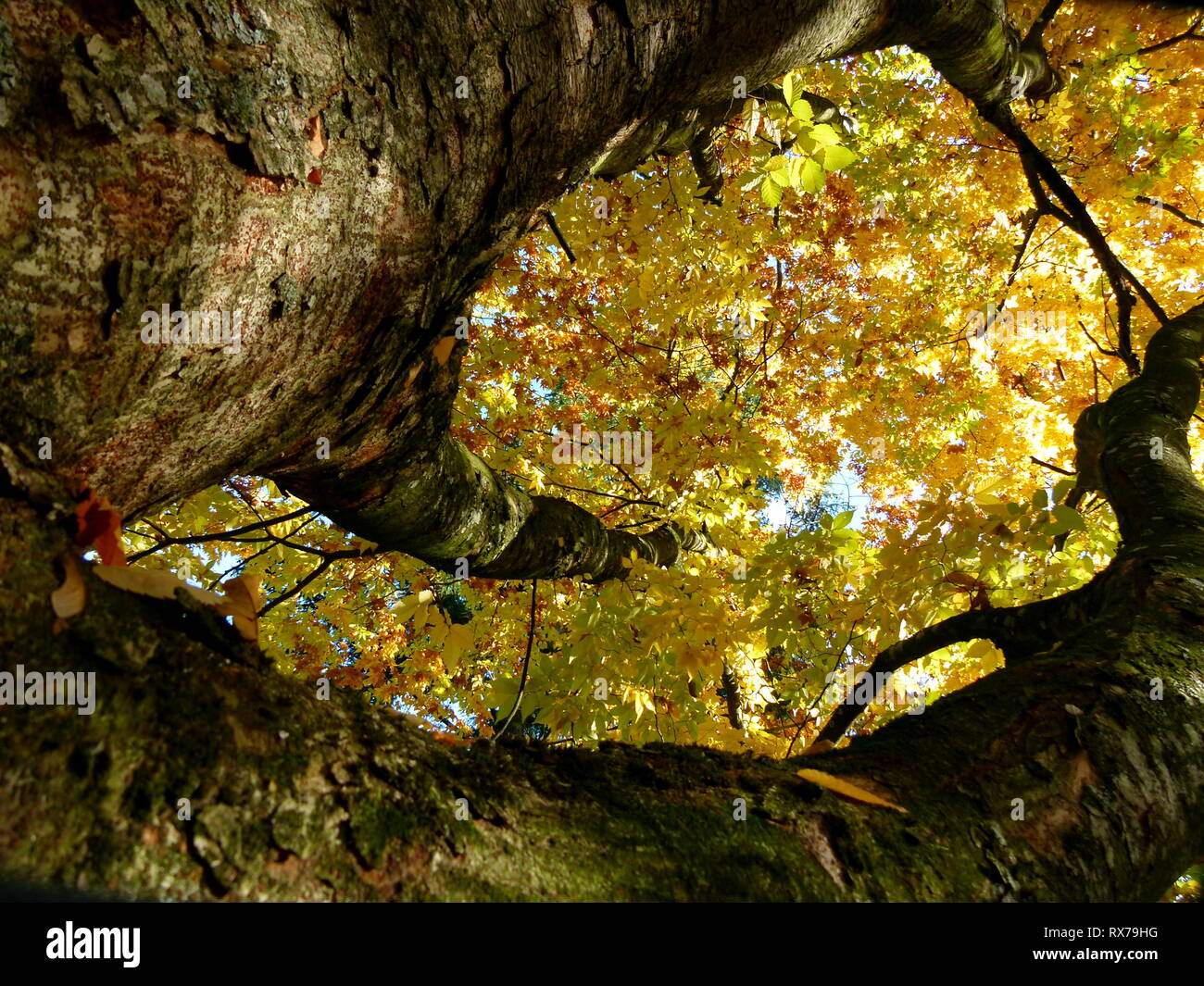 Japanese zelkoven tree with yellow autumn leaves in steep perspective - Stock Image